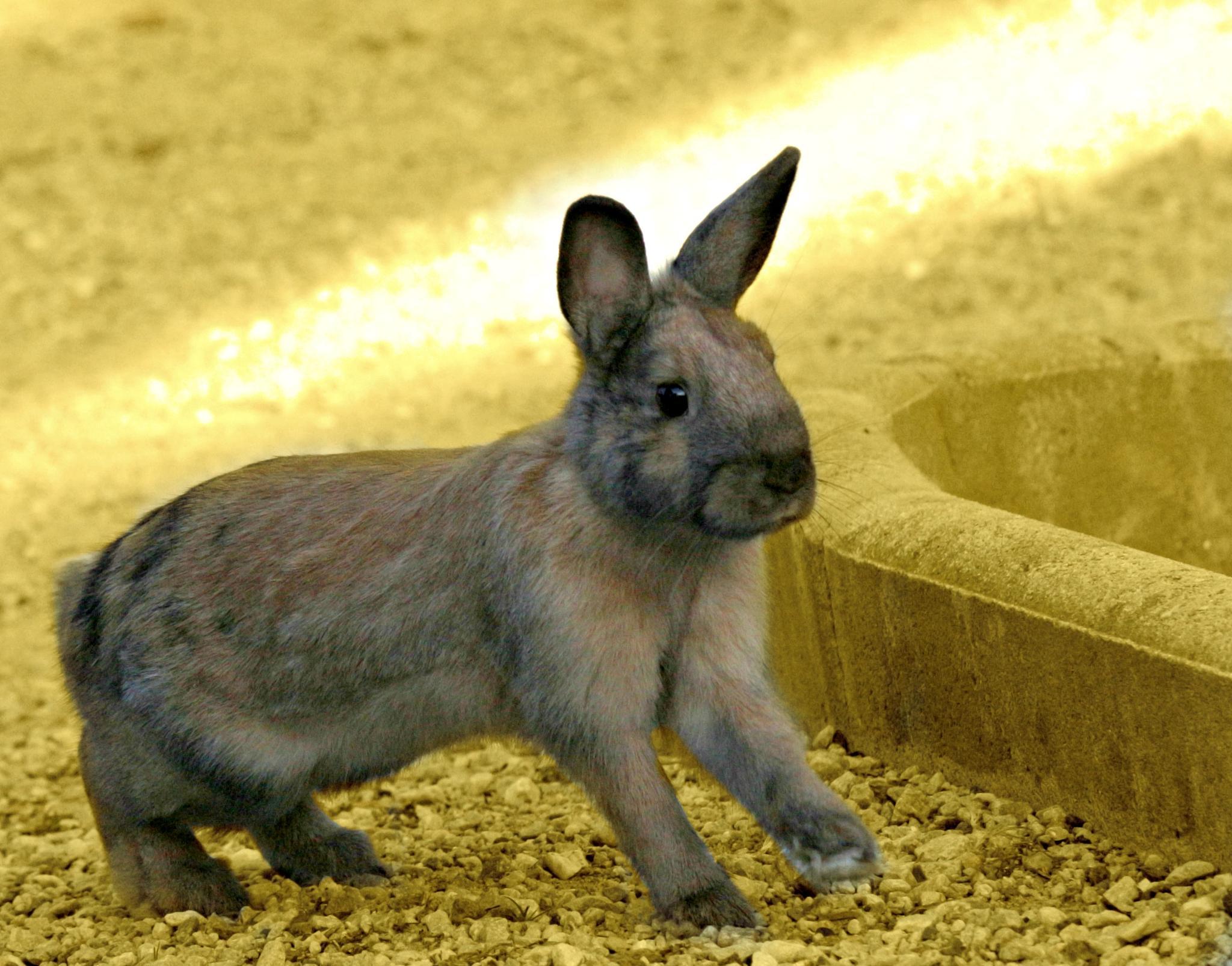 Bobtail Rabbit by Miranda Askwith