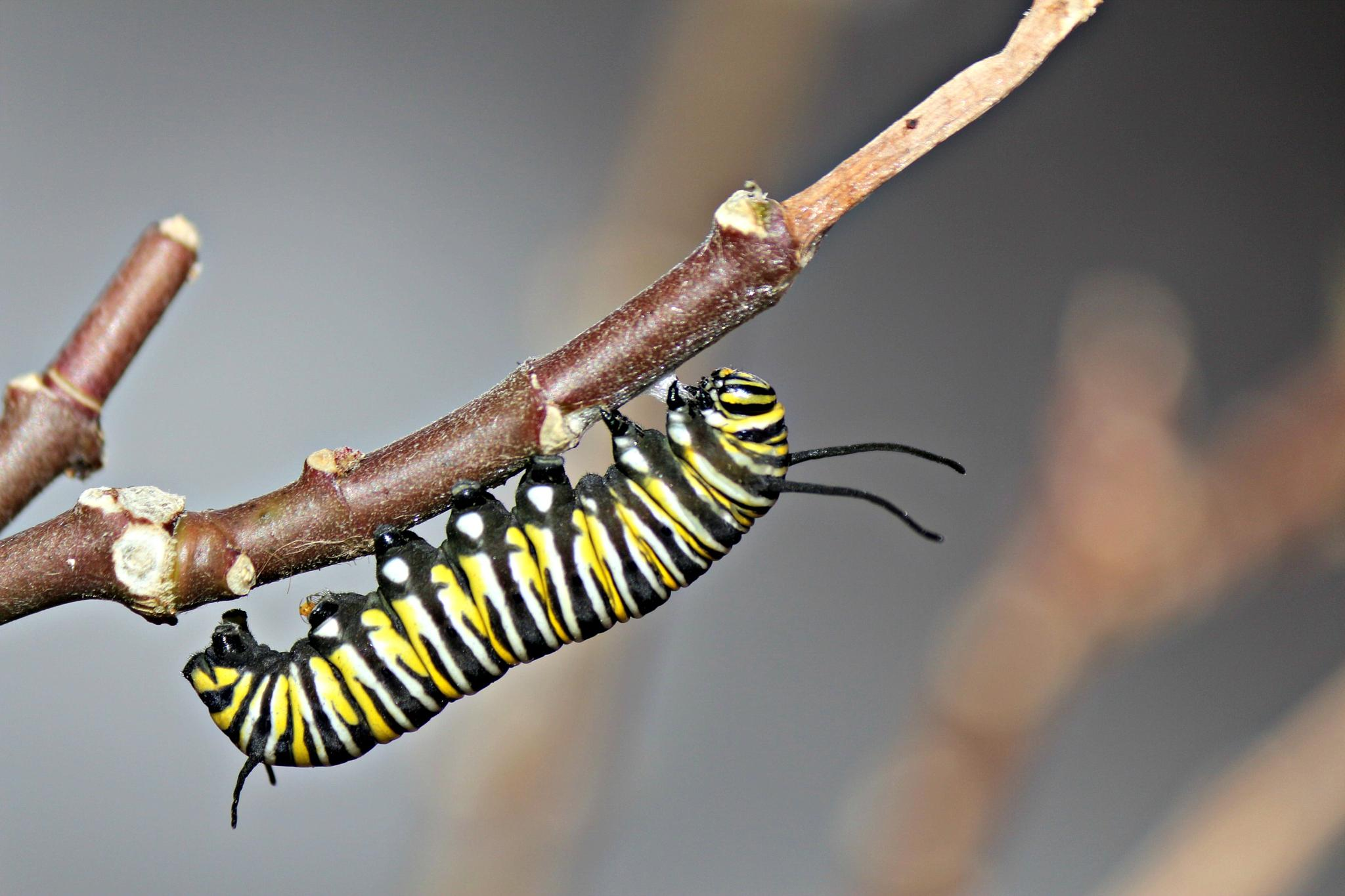 Caterpillar of a Monarch Butterfly by Miranda Askwith