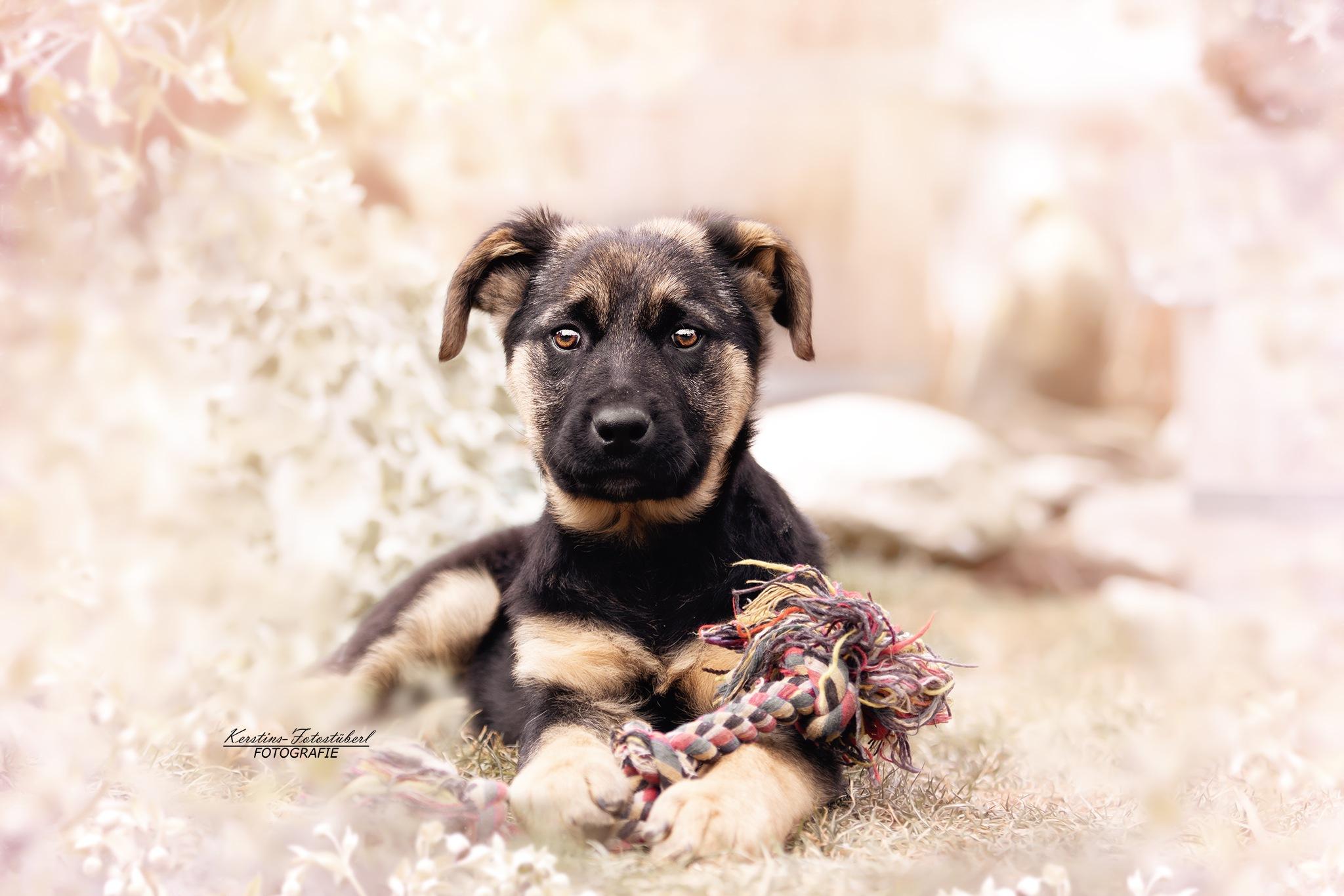 Puppy  by KerstinsFotostueberl