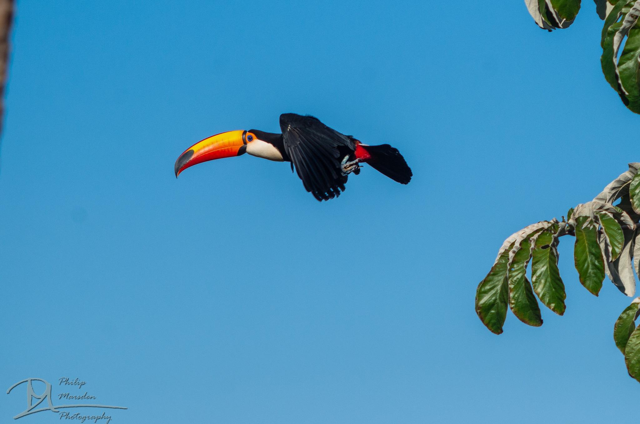 Toucan in flight by Philip Marsden