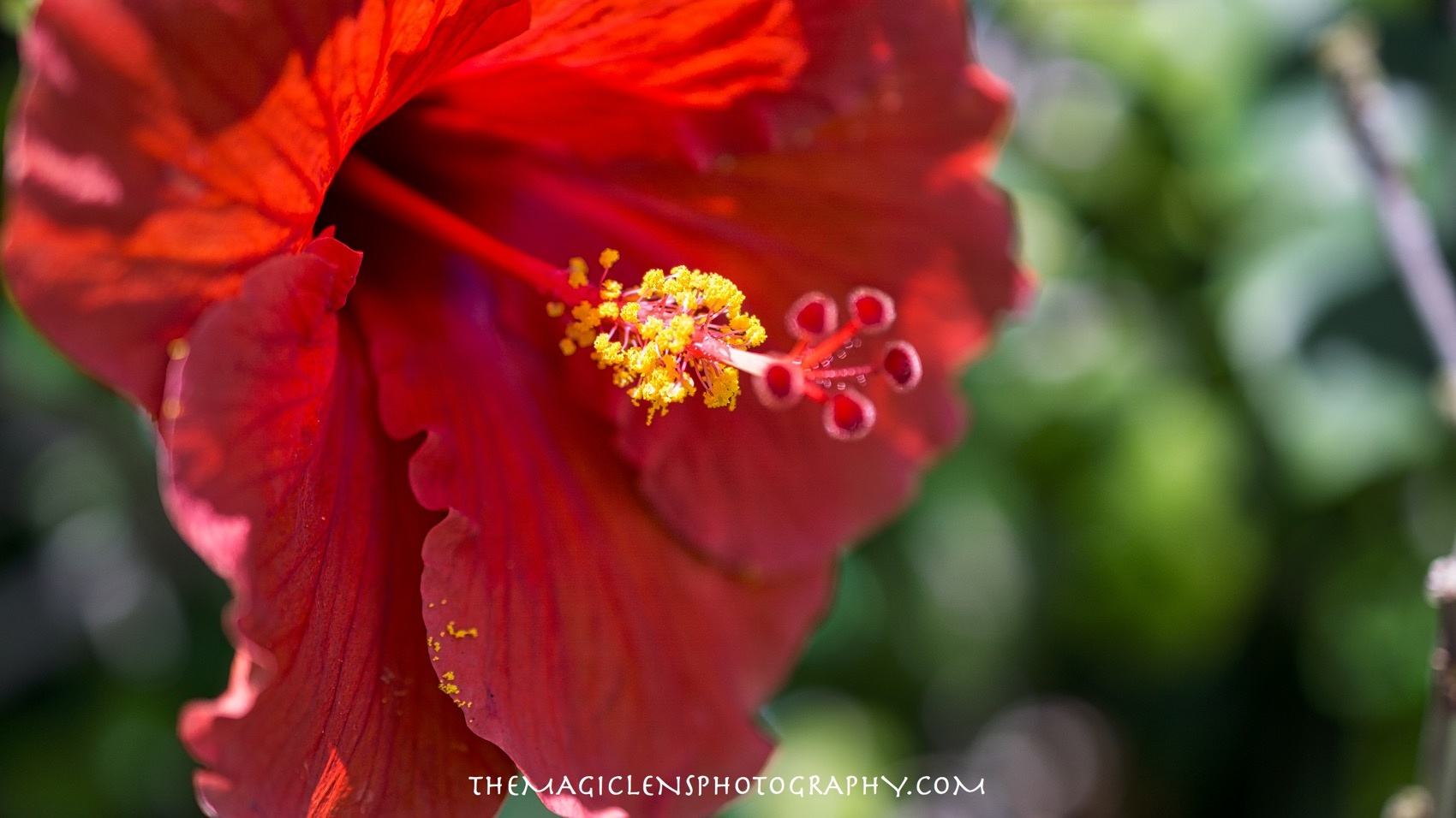 Hibiscus Dust by themagiclensphotography