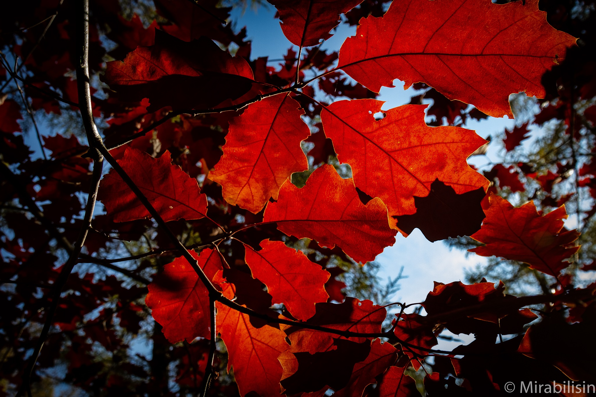 Red leafs  by Mirabilis in horto