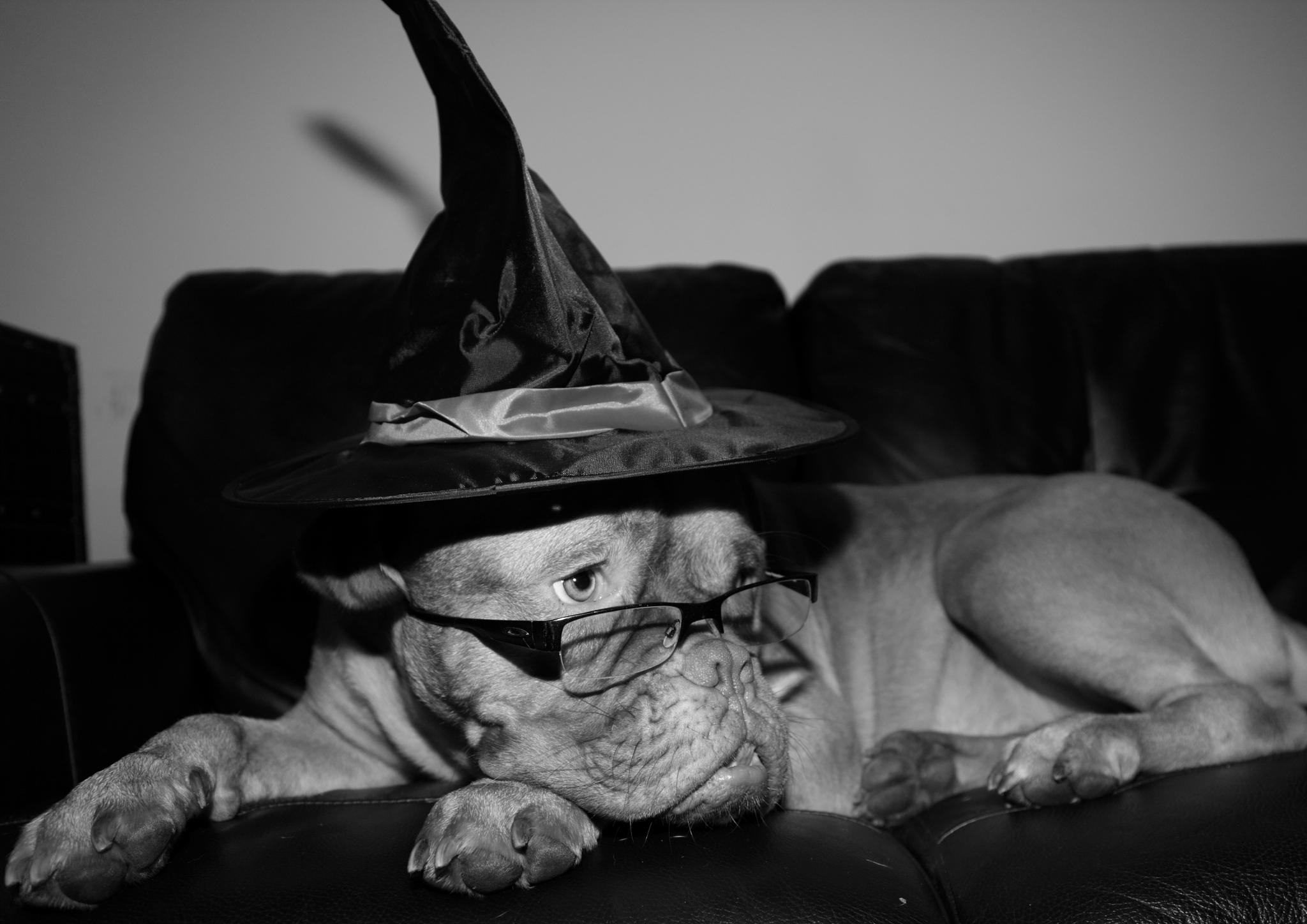 Photo in Animal #halloween dog #trick or treat