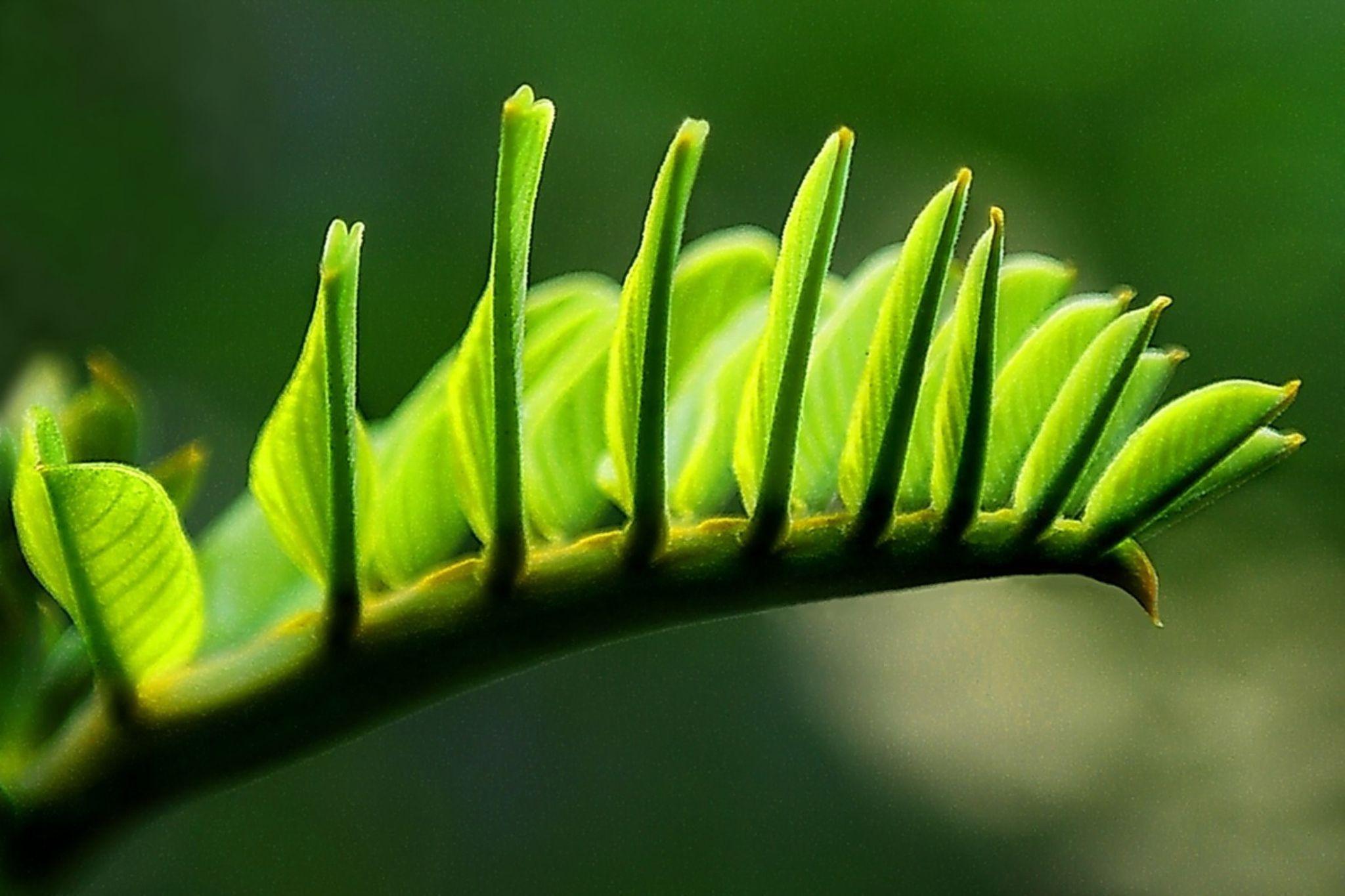 Senna Alata Leaf by Herman Adi
