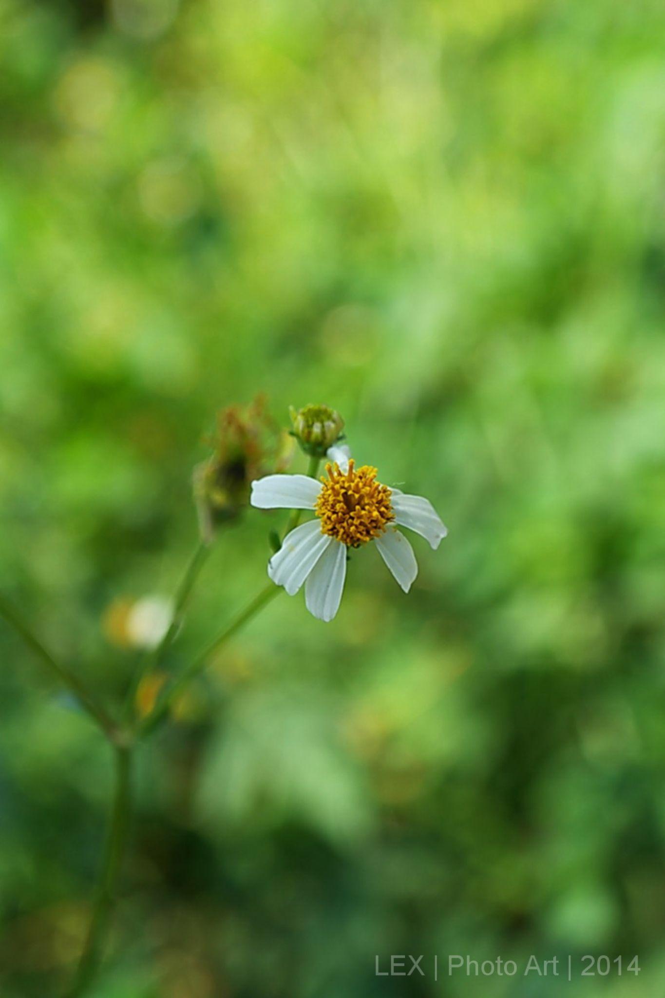 bunga liar by Herman Adi