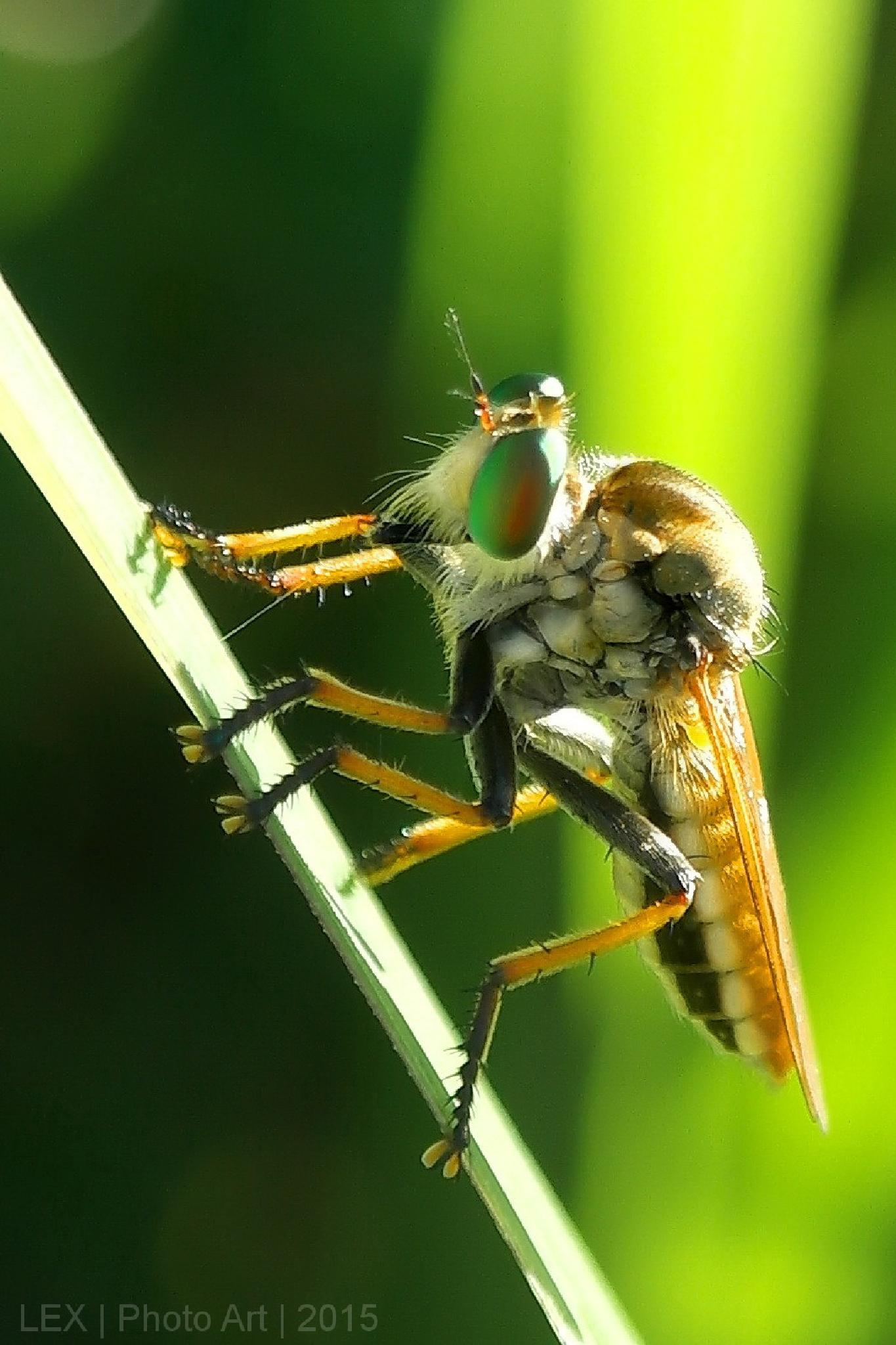 Robber fly by Herman Adi