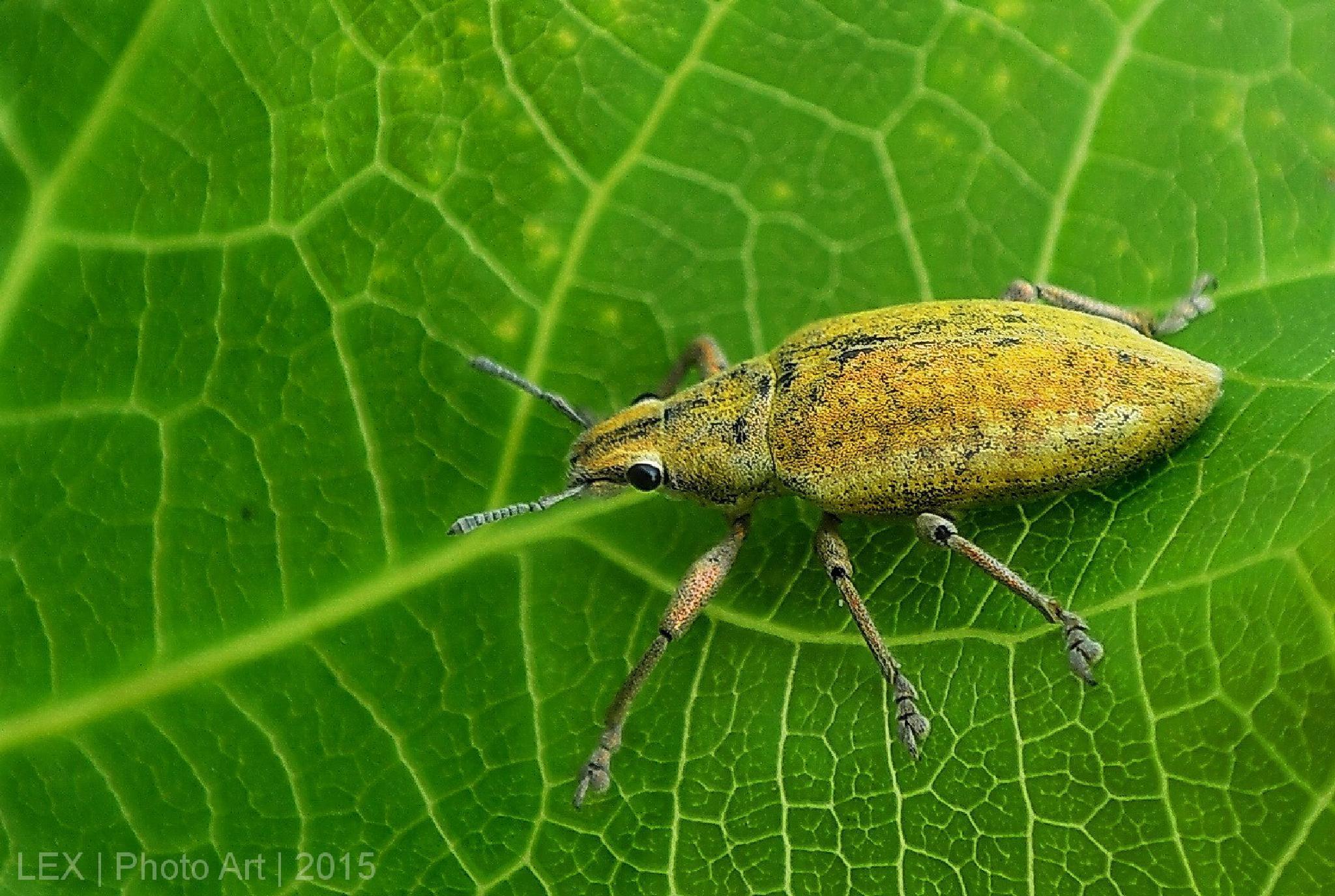 yellow Weevil  by Herman Adi