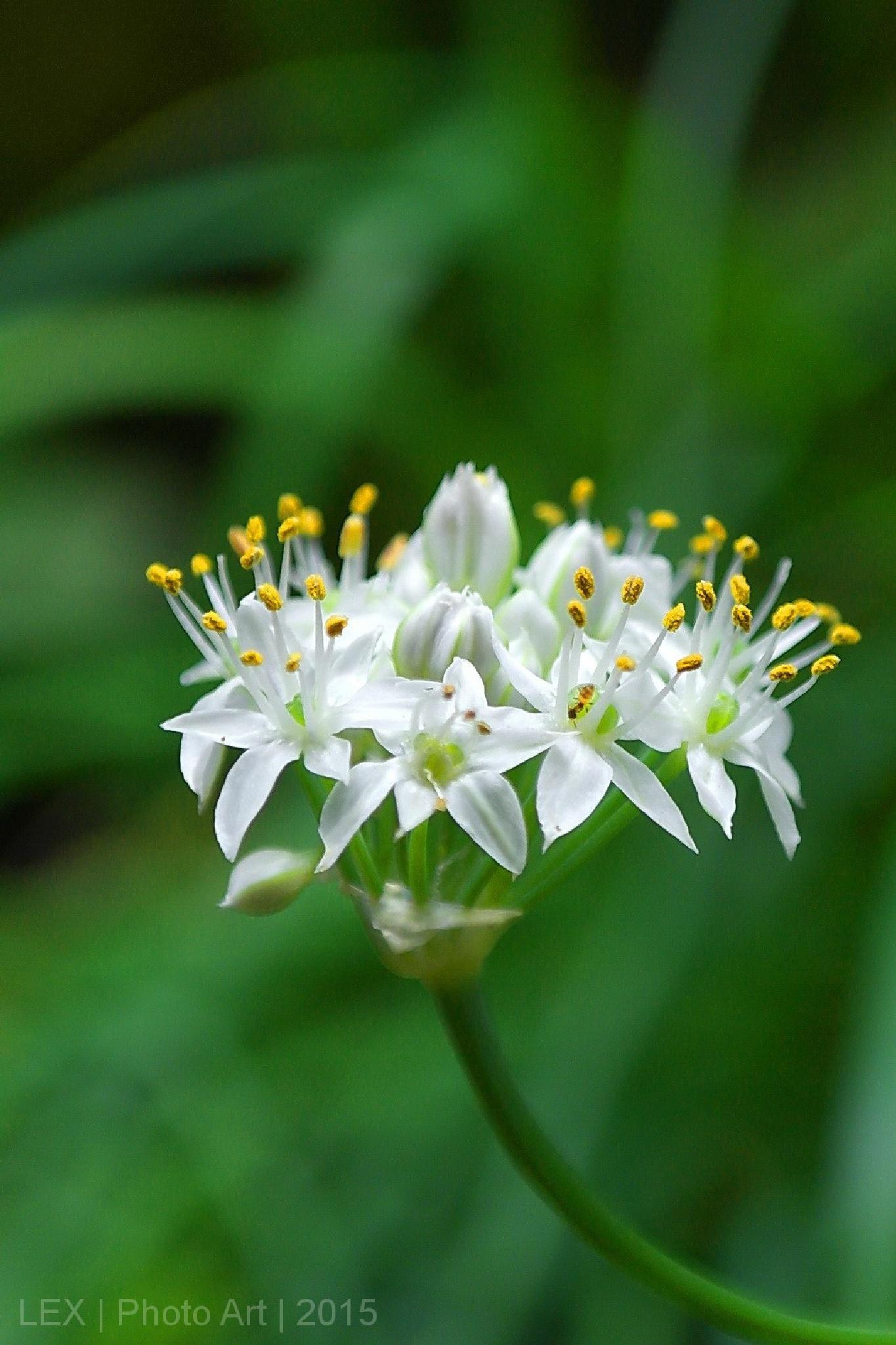 Allium tuberosum by Herman Adi