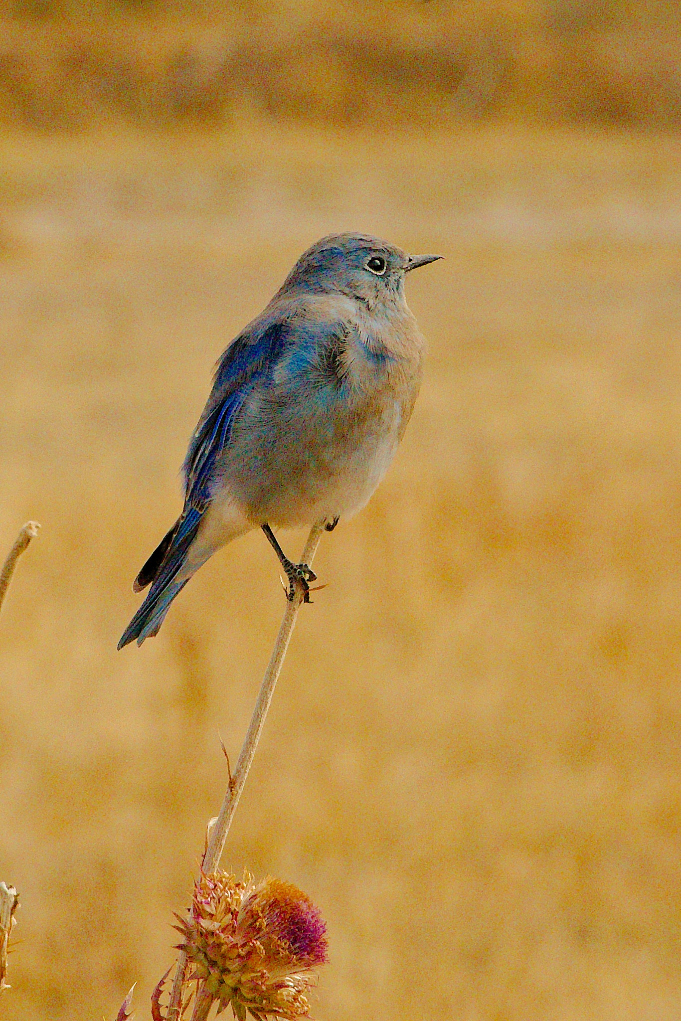 Photo in Animal #bluebird #mountain bluebird #neotropical migrants #birds #birding #baby birds #grand teton national park #jackson hole #wyoming #canon canon usa #autumn