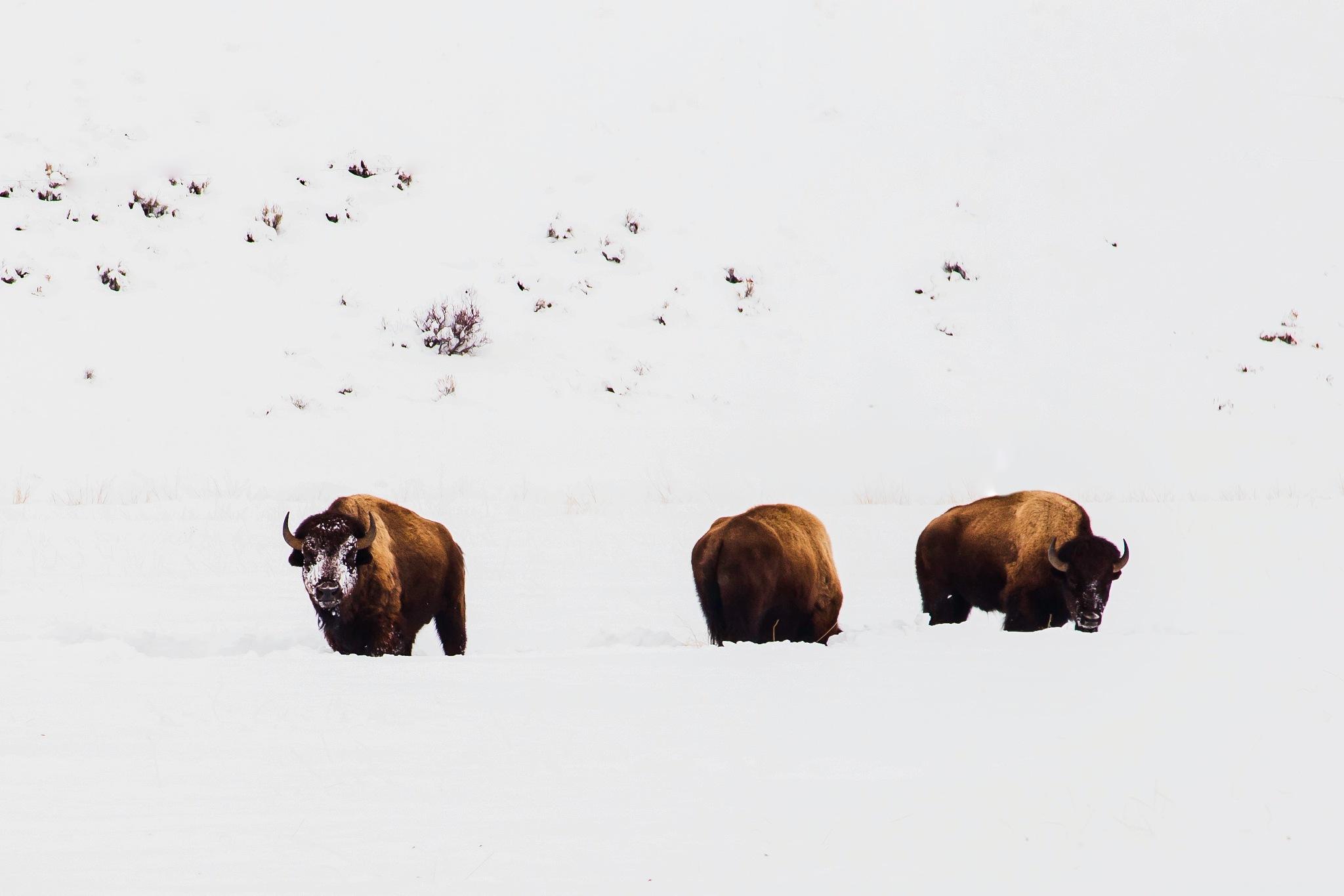 Photo in Animal #bison #buffalo #grand teton national park #jackson hole #wyoming #mountains #winter #snow #grazing #wildlife #nature #canon #canon usa