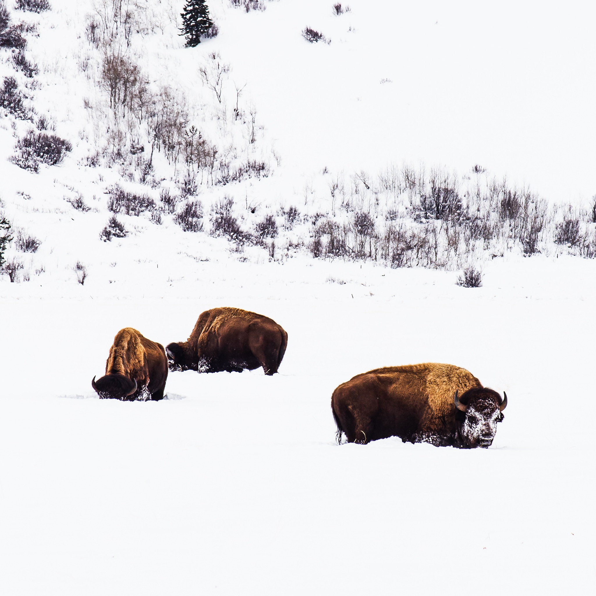 Photo in Animal #bison #buffalo #grand teton national park #winter #snow #grazers #mountains #greater yellowstone ecosystem #canon #canon usa #wyoming #jackson hole