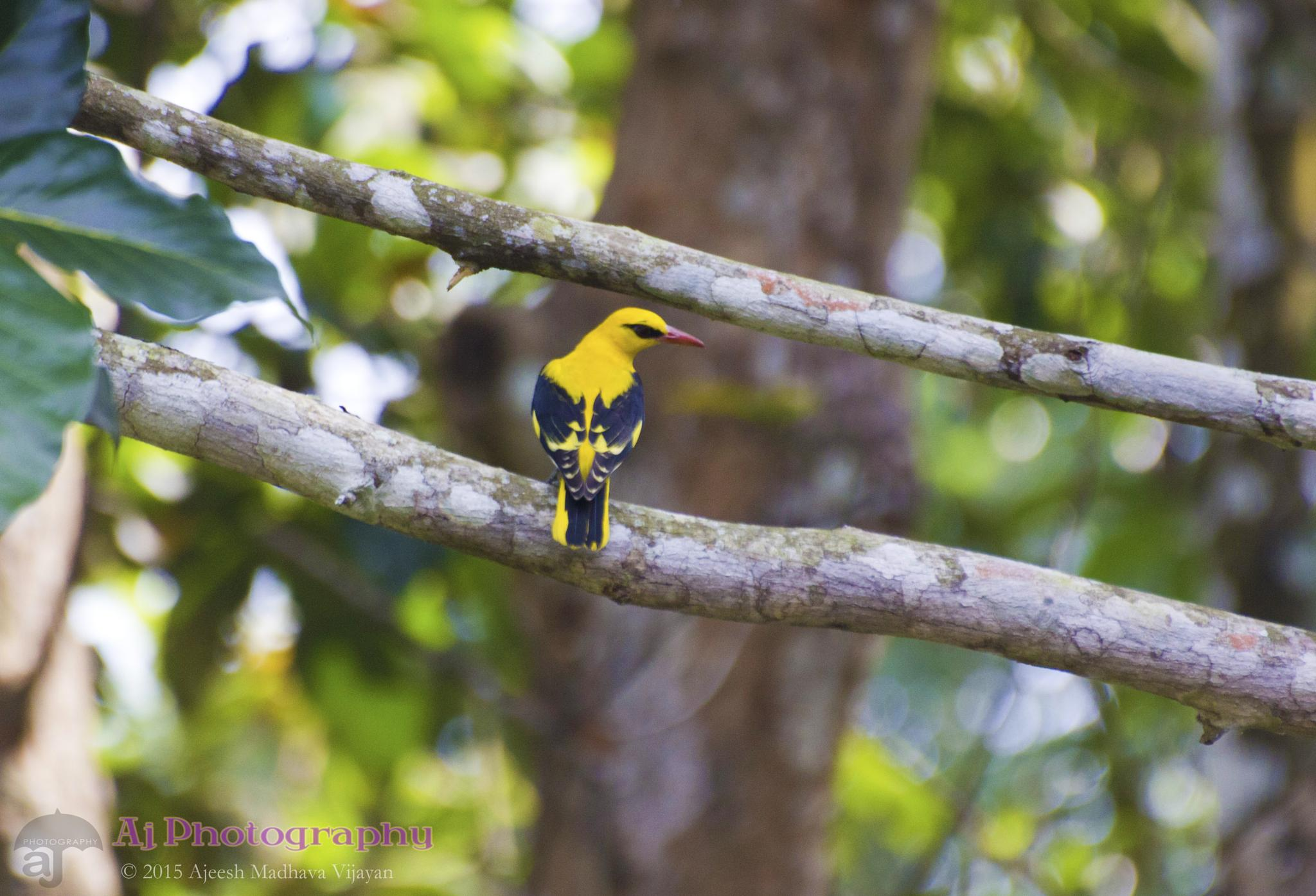 Golden Oriole by SacredLove
