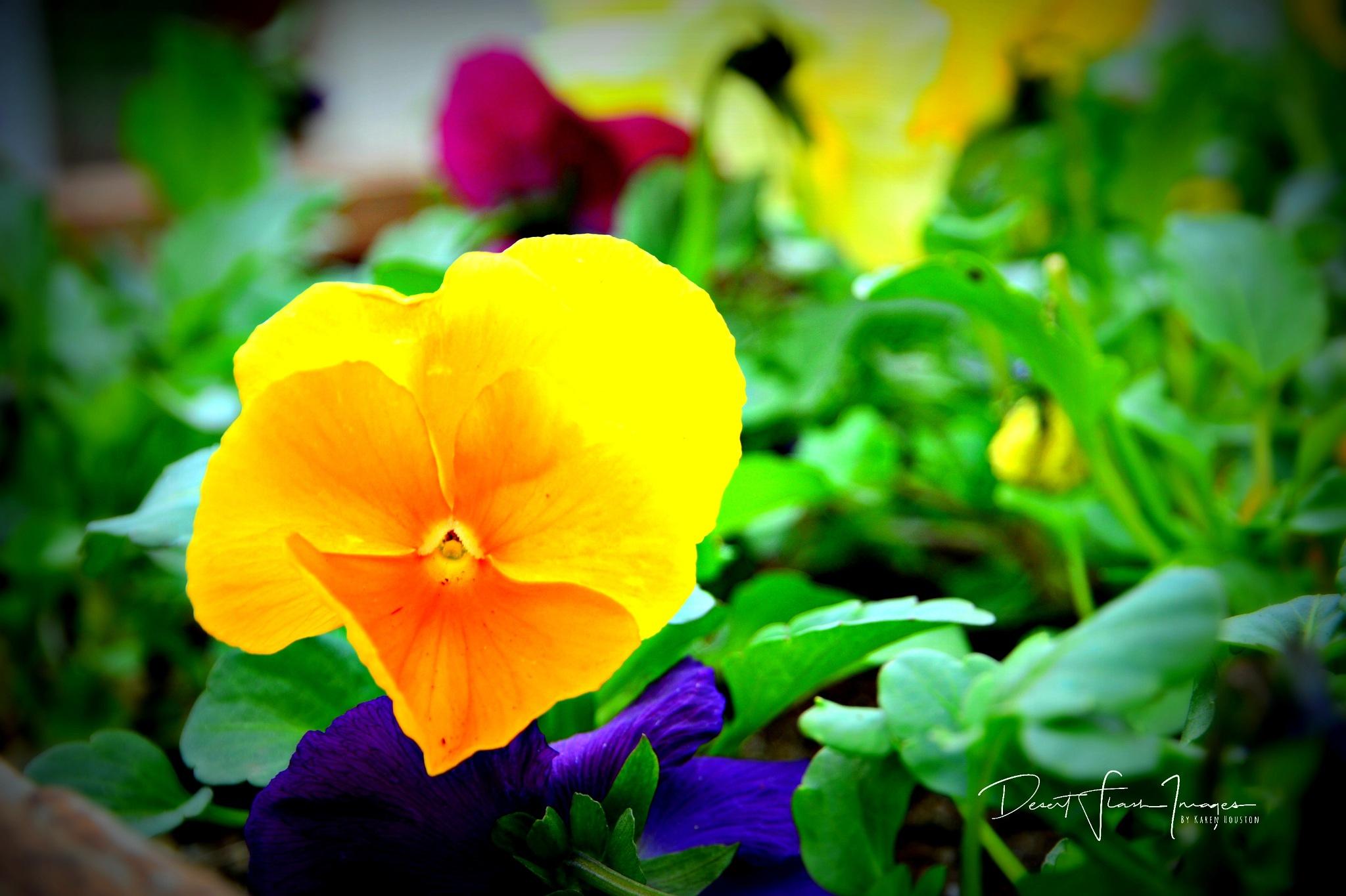 Yellow Pansie by Karen Houston