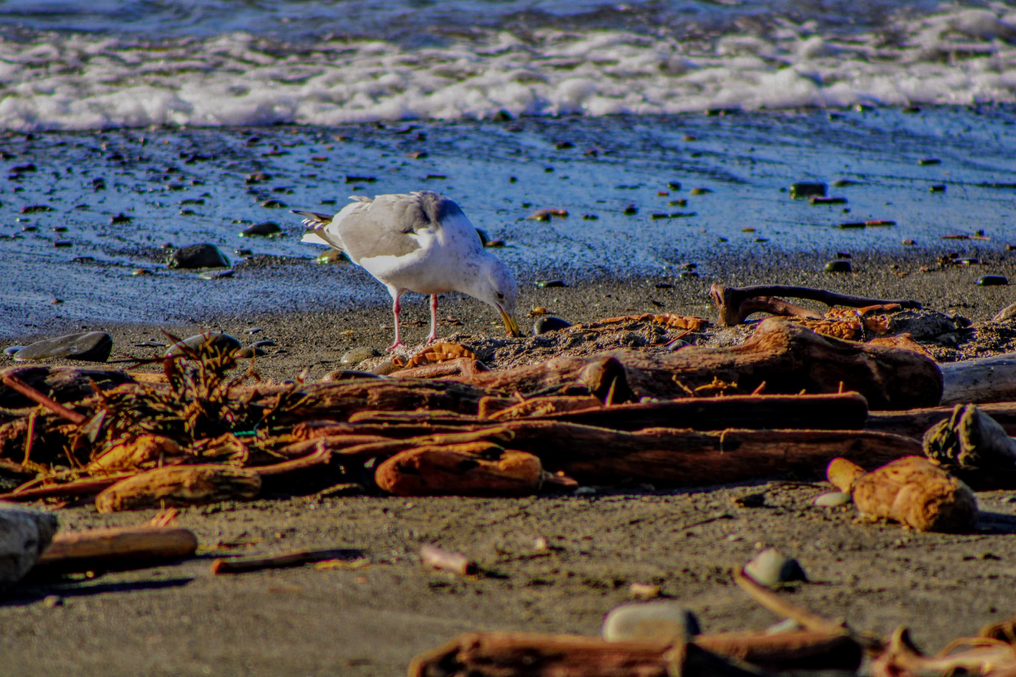 Seagull on the wild coast (3) by David Wheeler