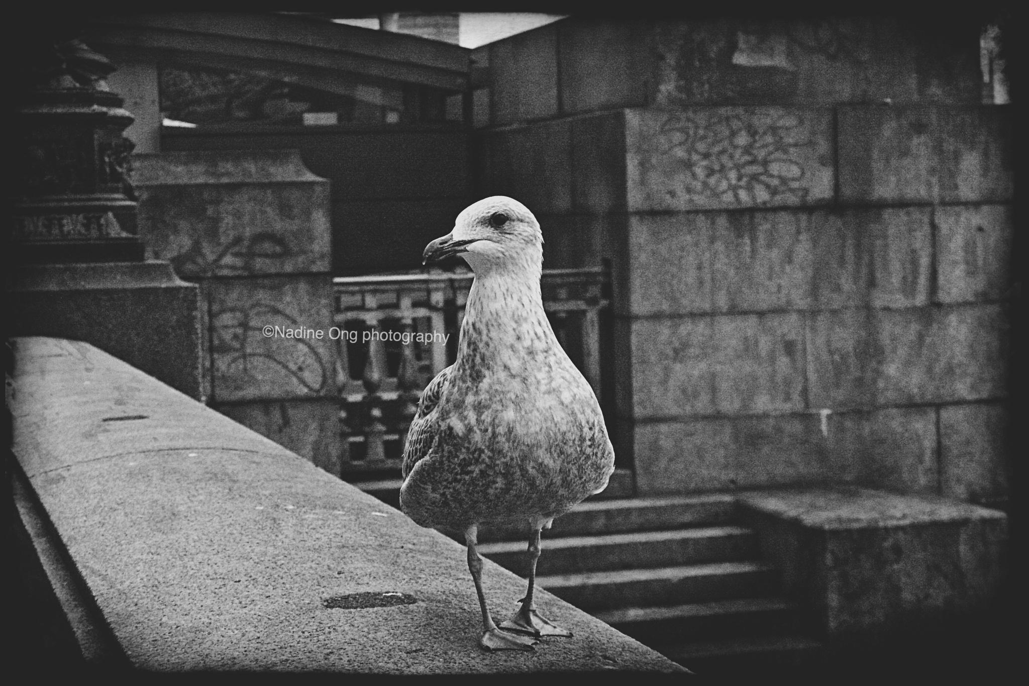 Pigeon visting Big Ben - 2015 by Nadine Ong