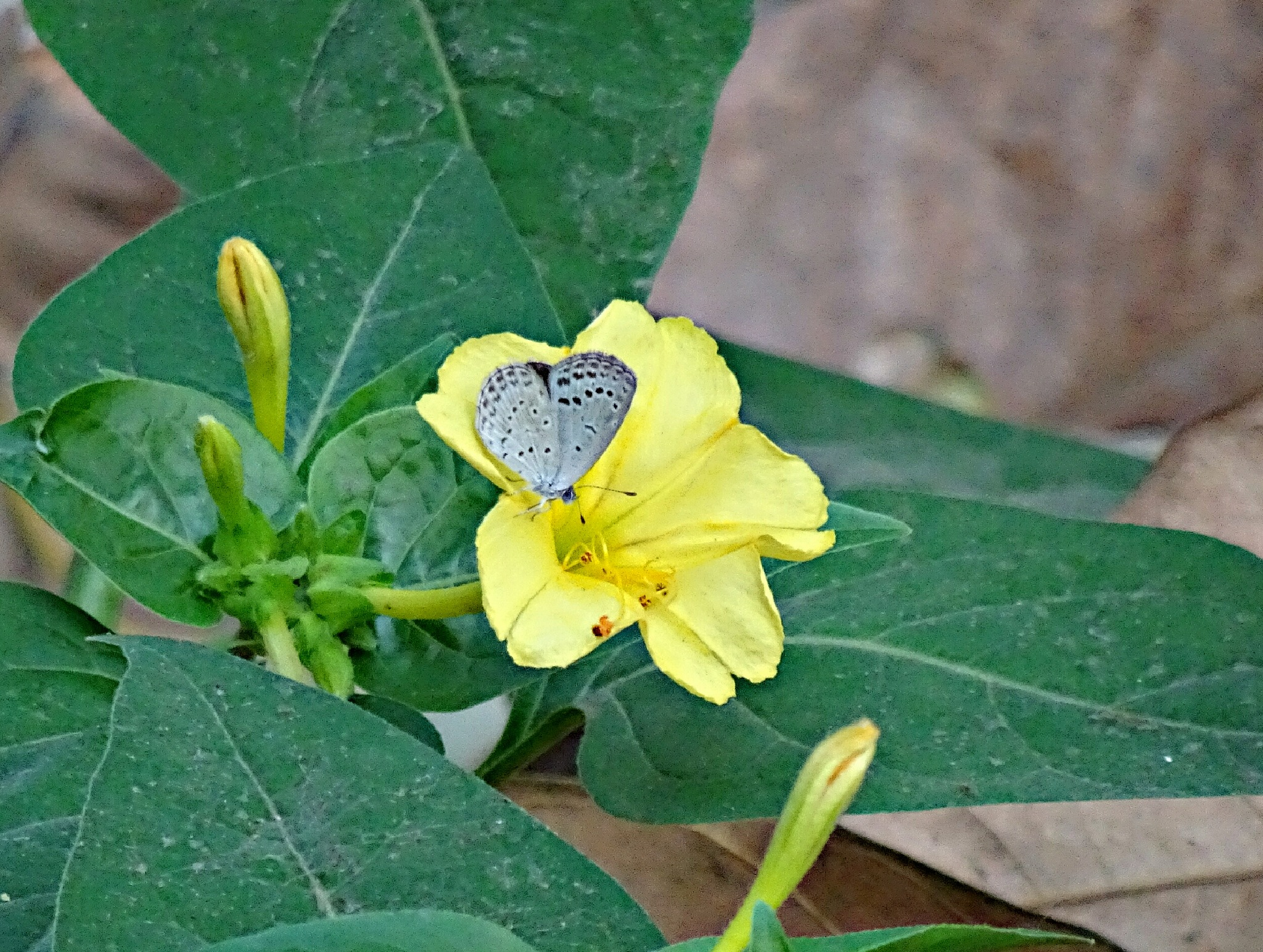 Little butterfly by soumitramaity39