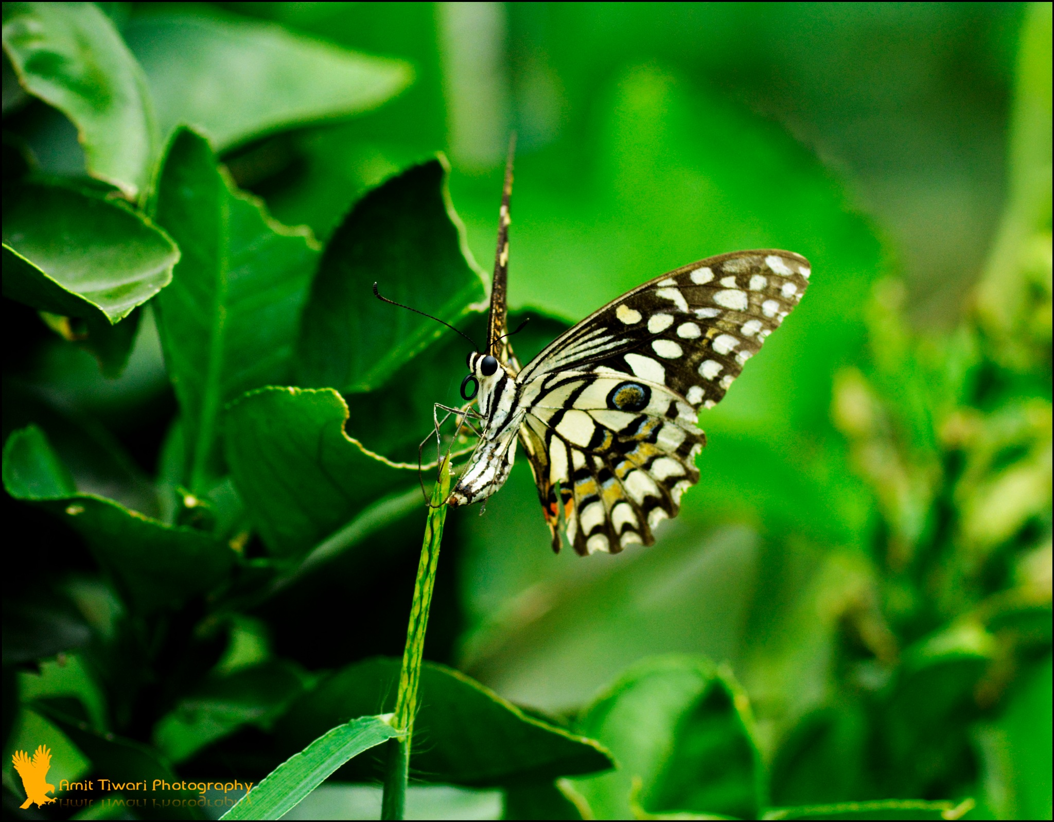 Butterfly by Amit Tiwari