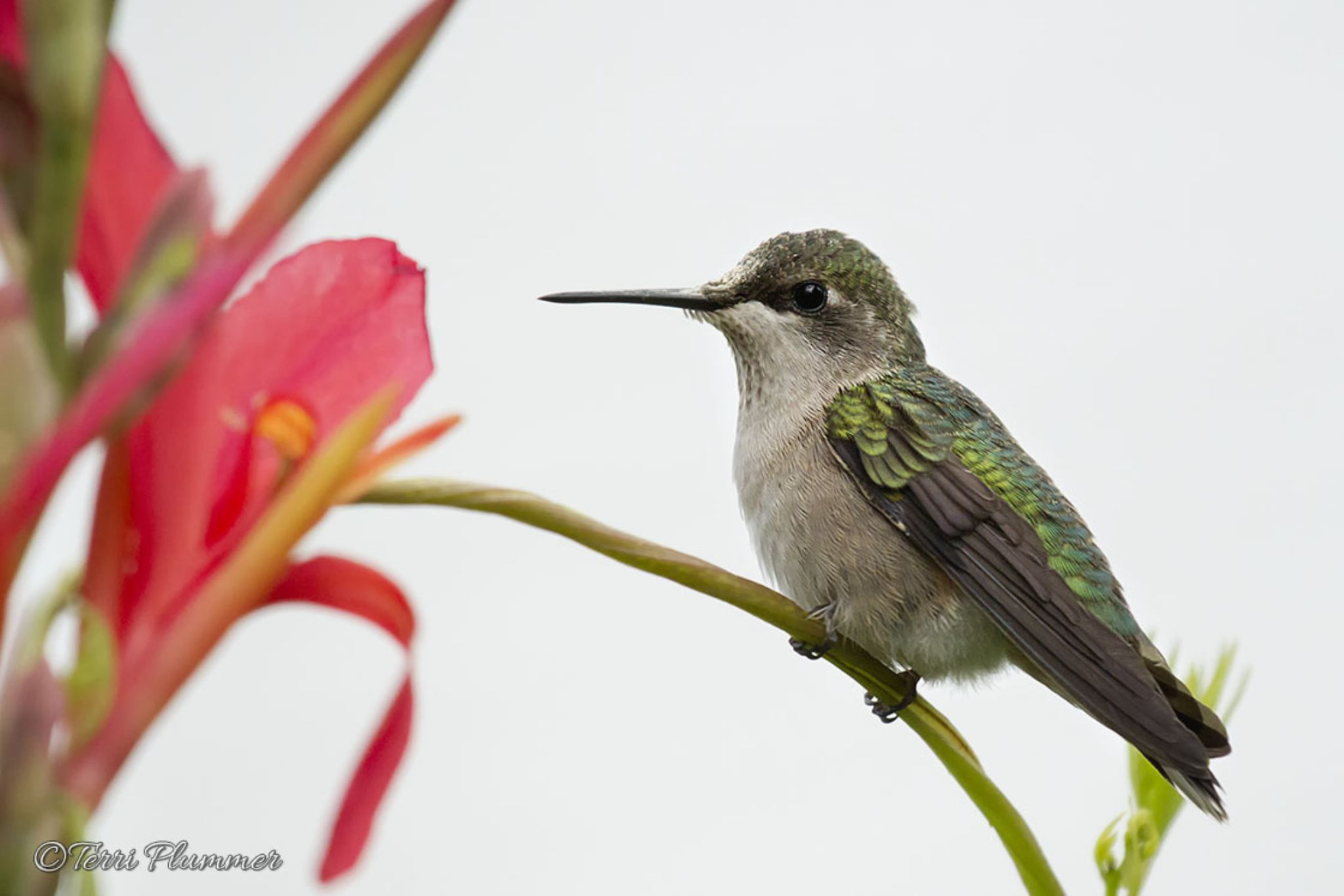 Ruby throated hummingbird by Terri Plummer