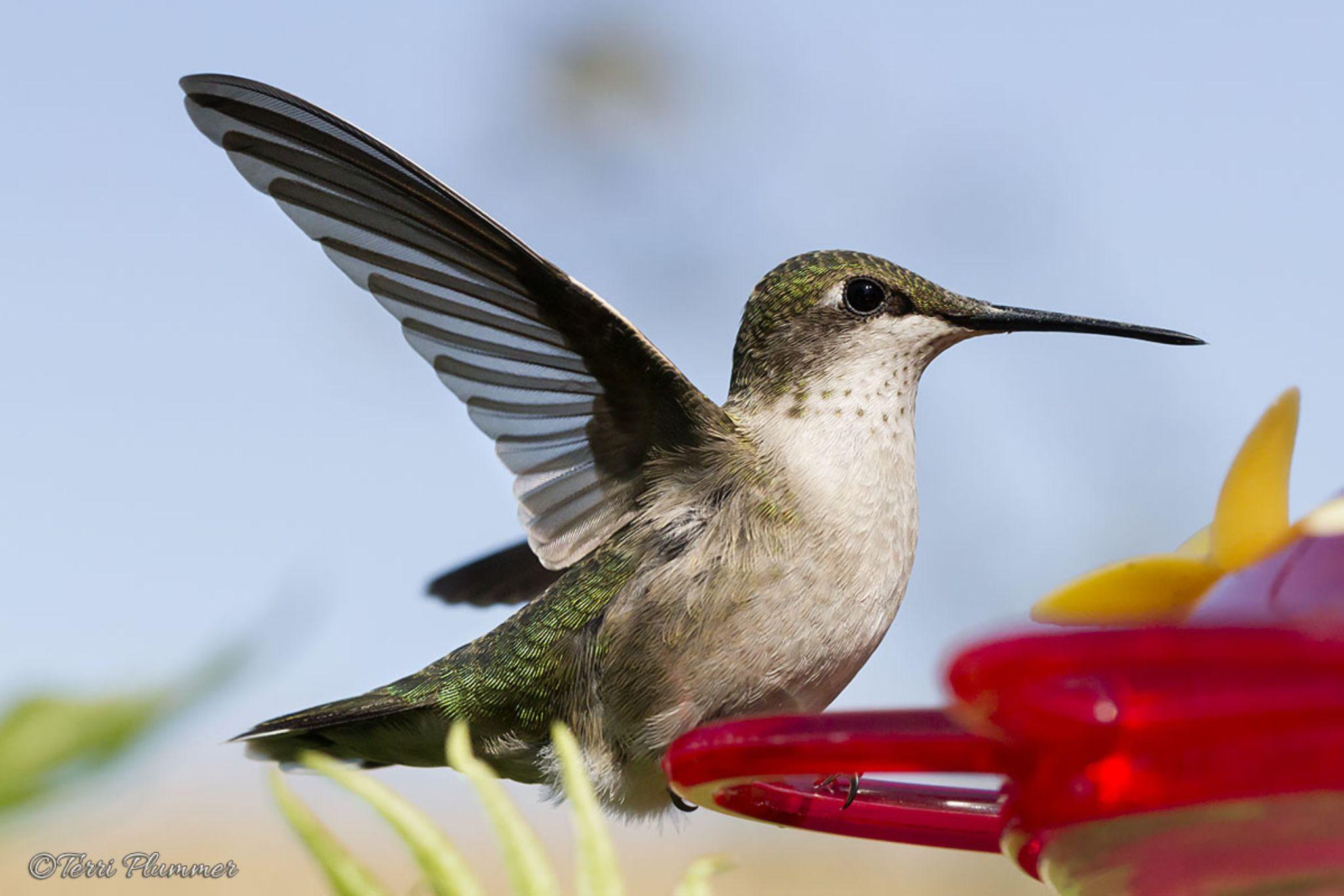 Ruby throated hummingbird by Terri Plummer