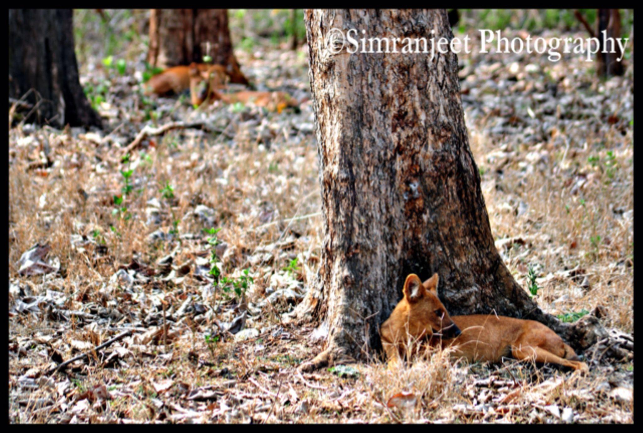 wild dogs by Simranjeet Singh