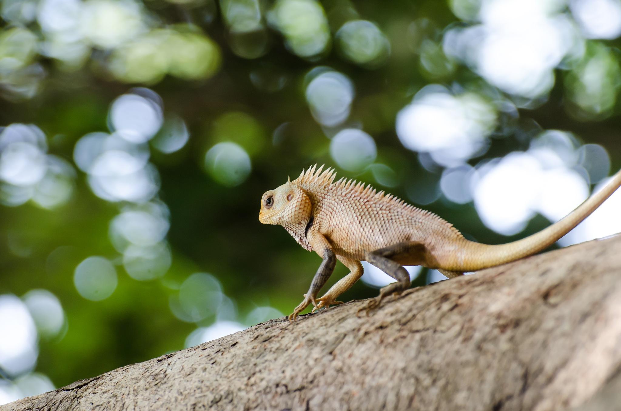 Oriental Garden Lizard !! by Prathap Gangireddy