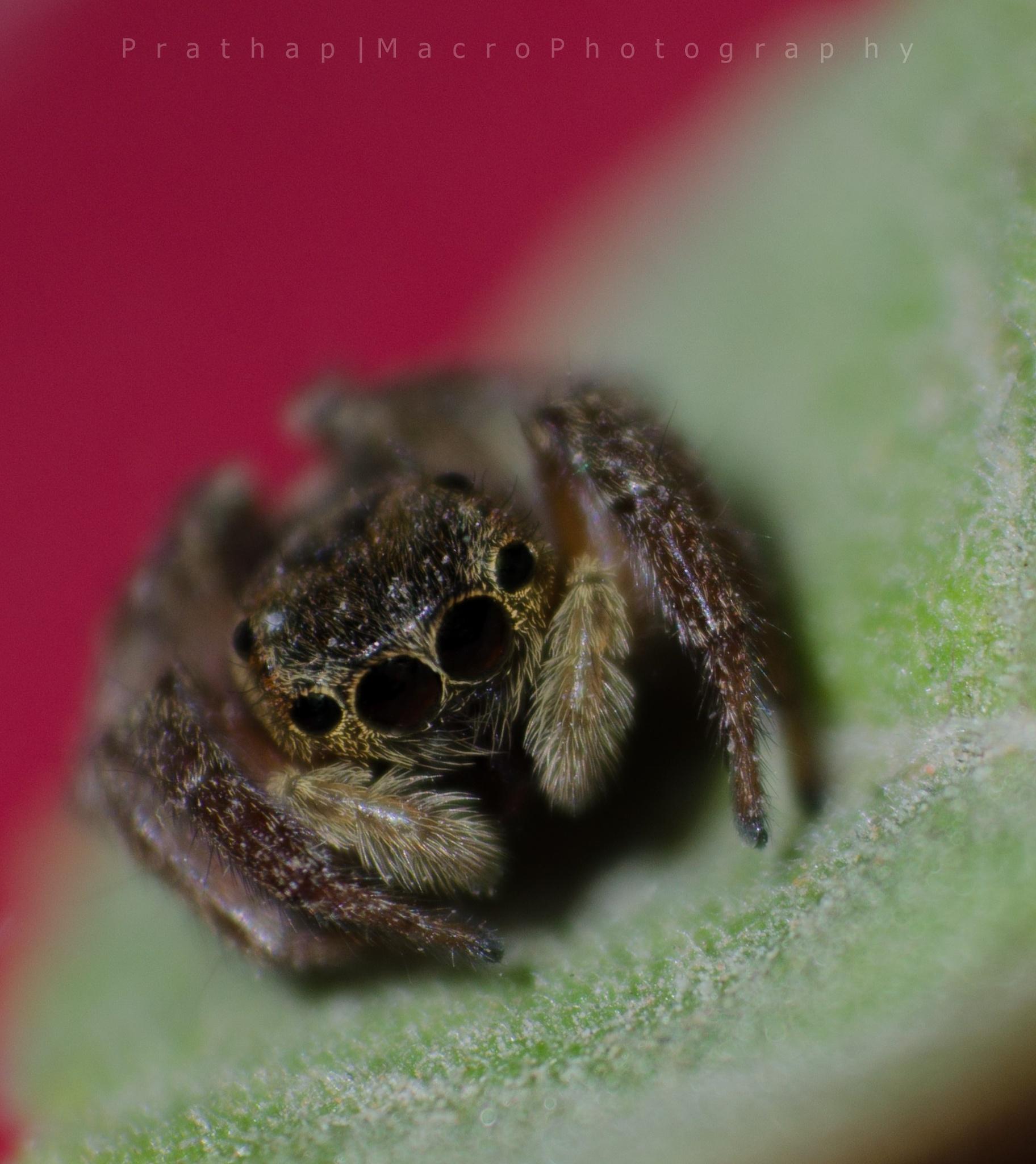 Jumping Spider o00o !! by Prathap Gangireddy