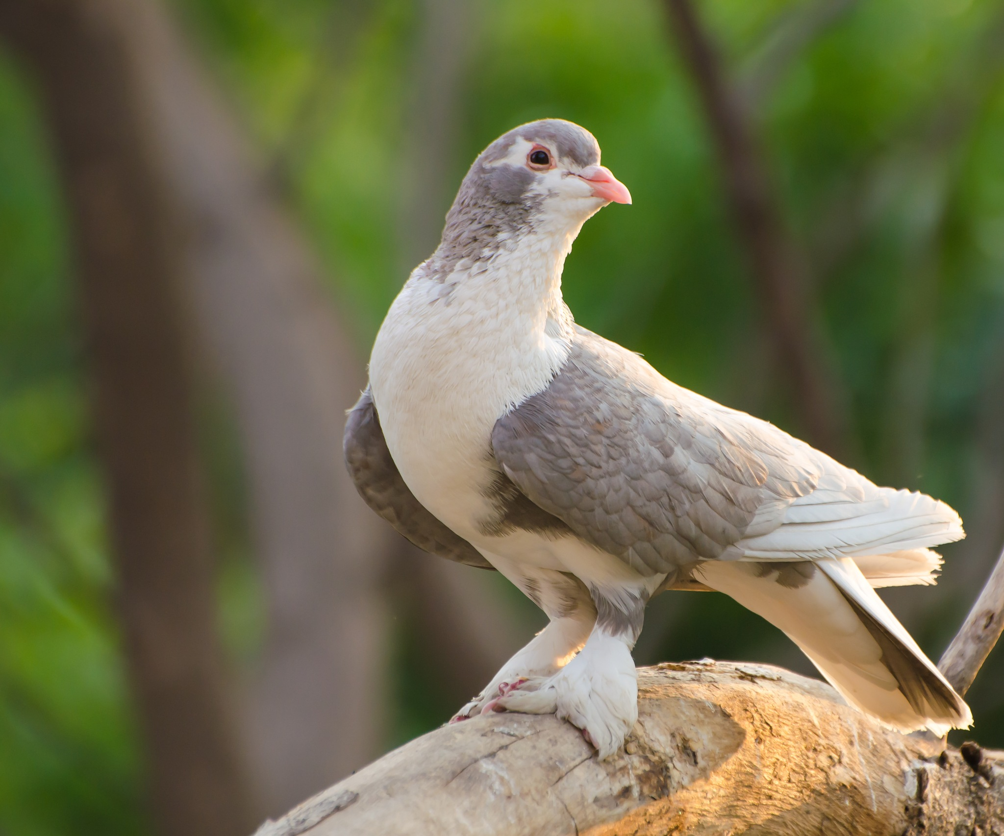 Domestic Pigeon !! by Prathap Gangireddy