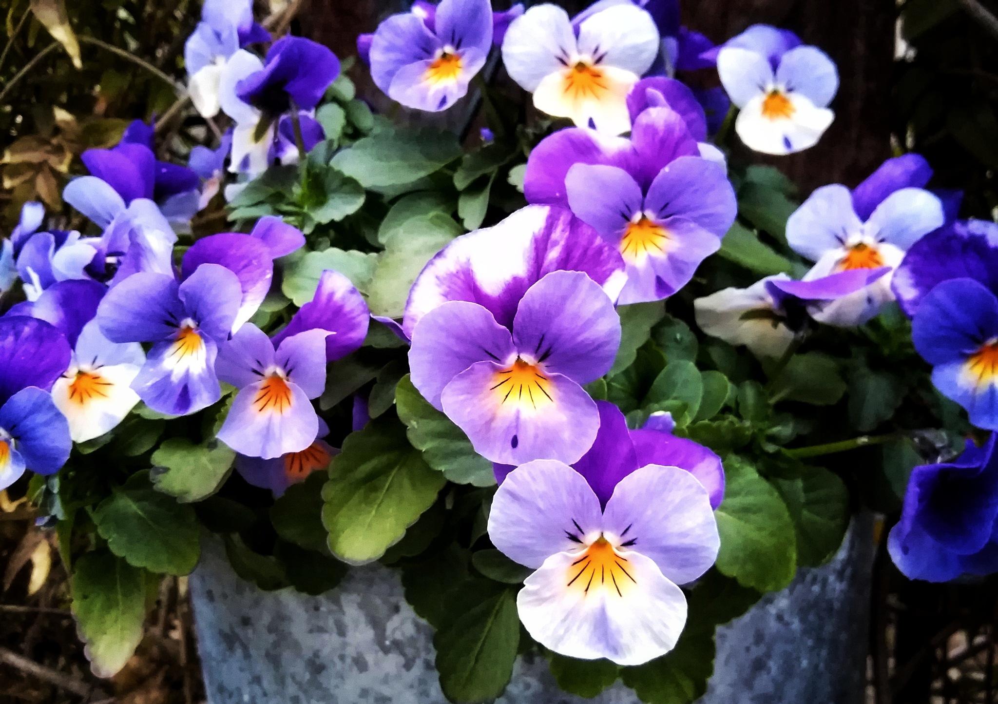 Violet violas by Kazuma Takeda