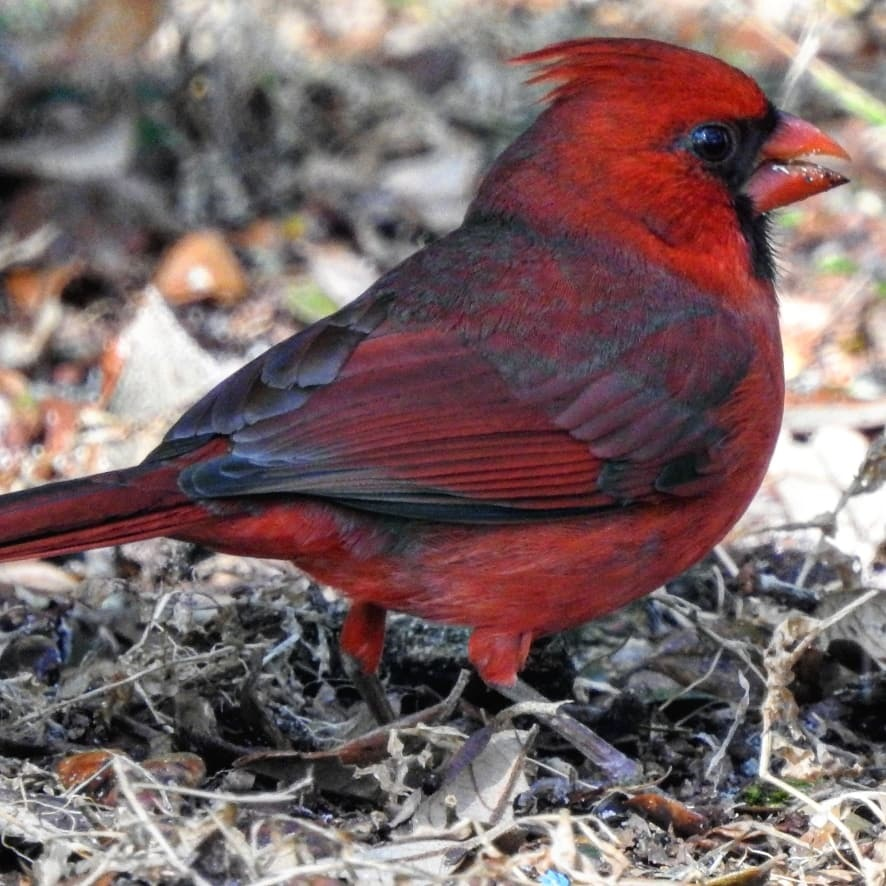 cardinal  by Jeanette Childs