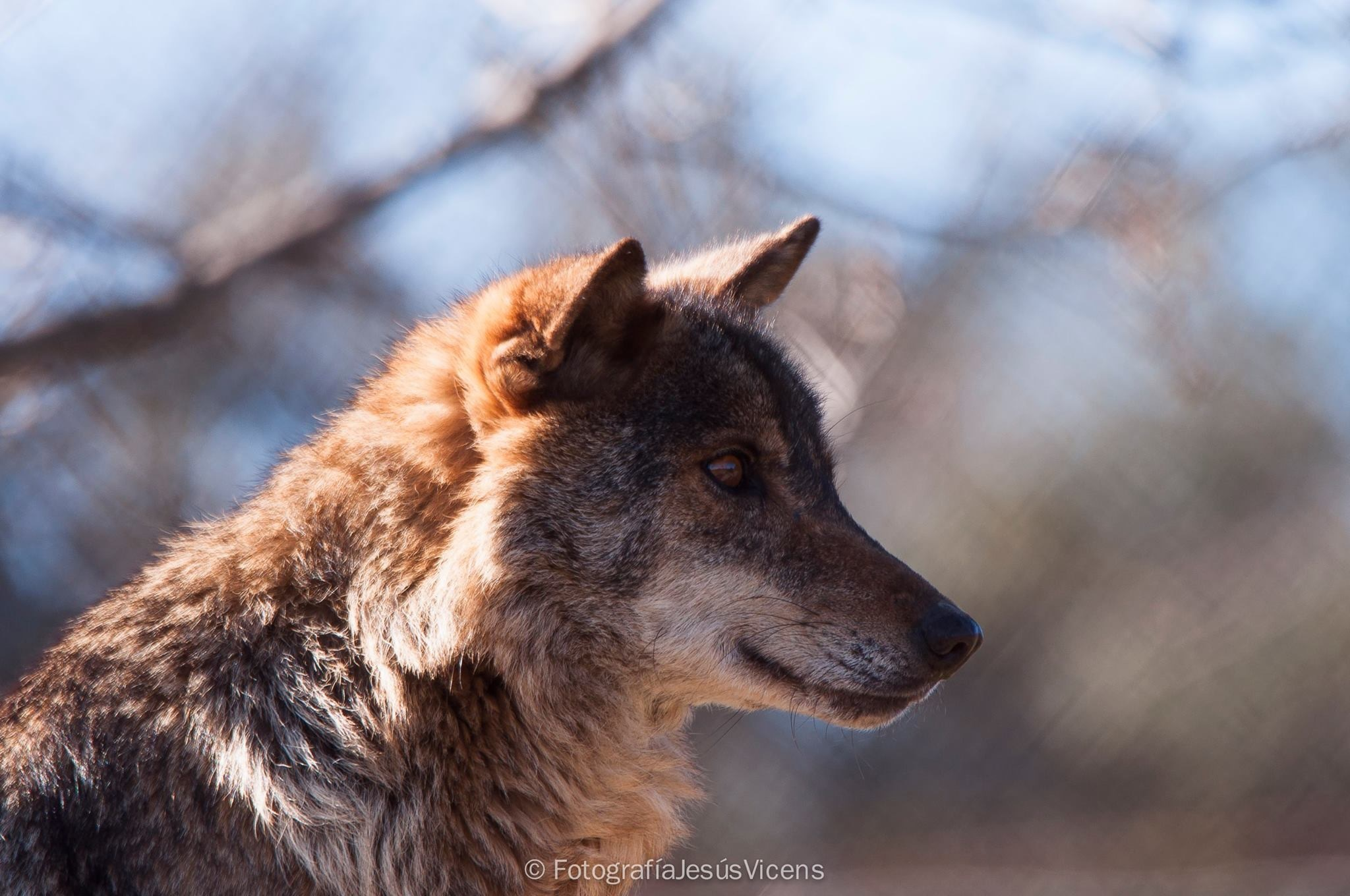 Canis lupus by Jesus Vicens Gomez
