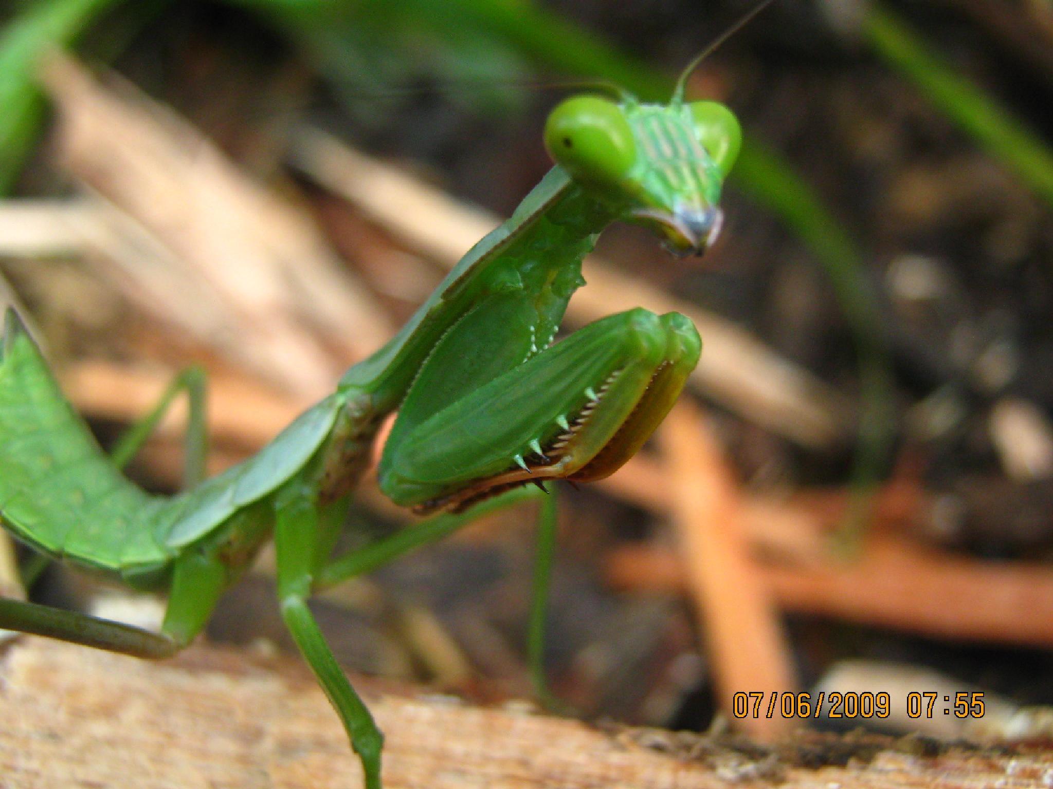 Praying Mantis ready for a bout :) by Sylver Yagi