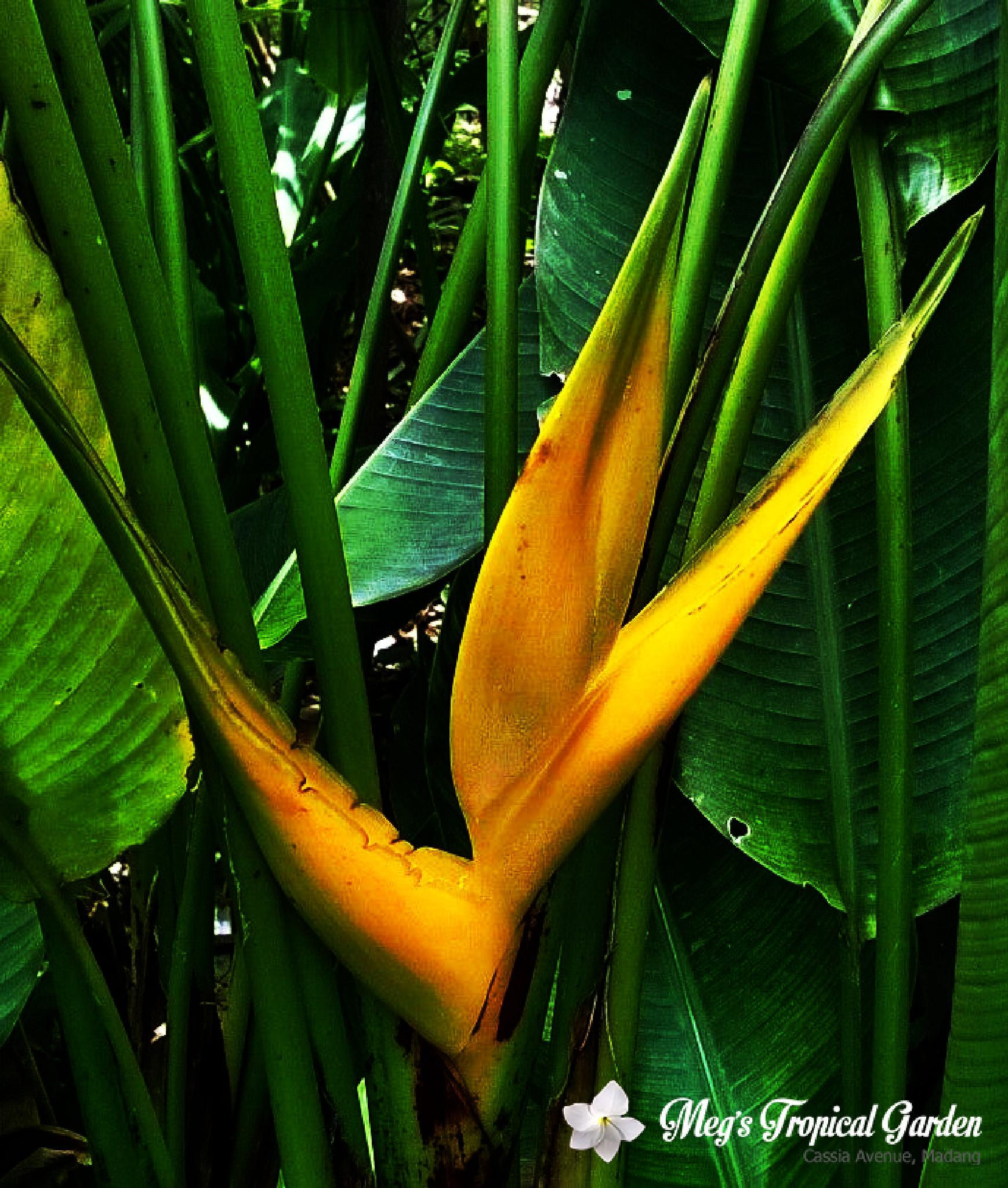 Heliconia The Yellow Dancer by Sylver Yagi