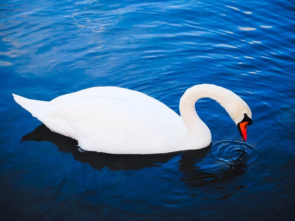 Swan 2 by Dea Beran