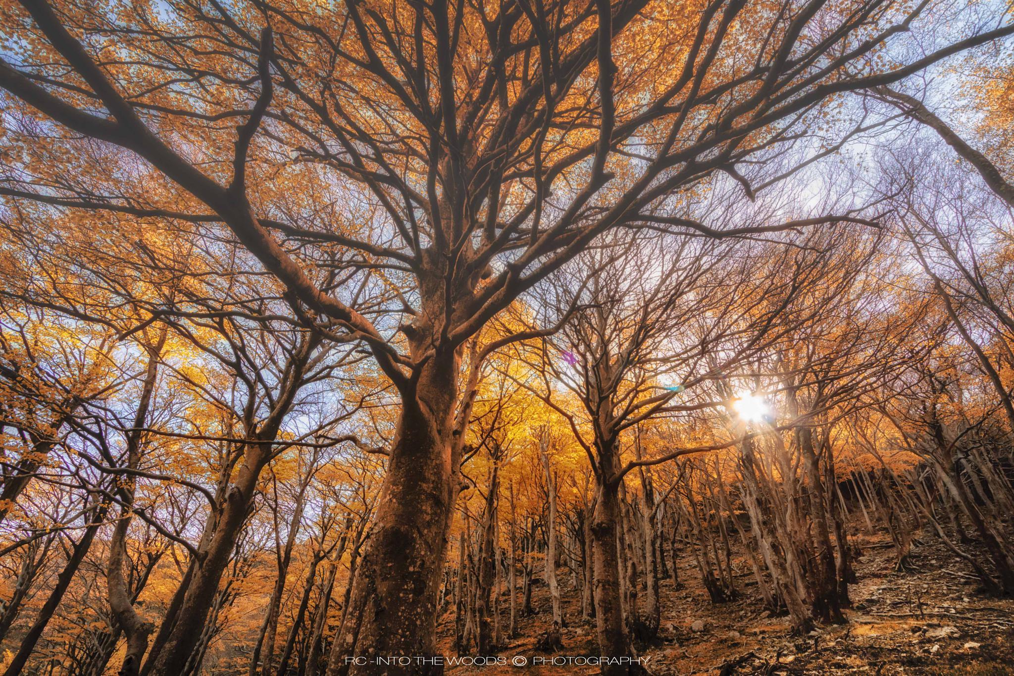 Light through the tops by Rocco Calogero