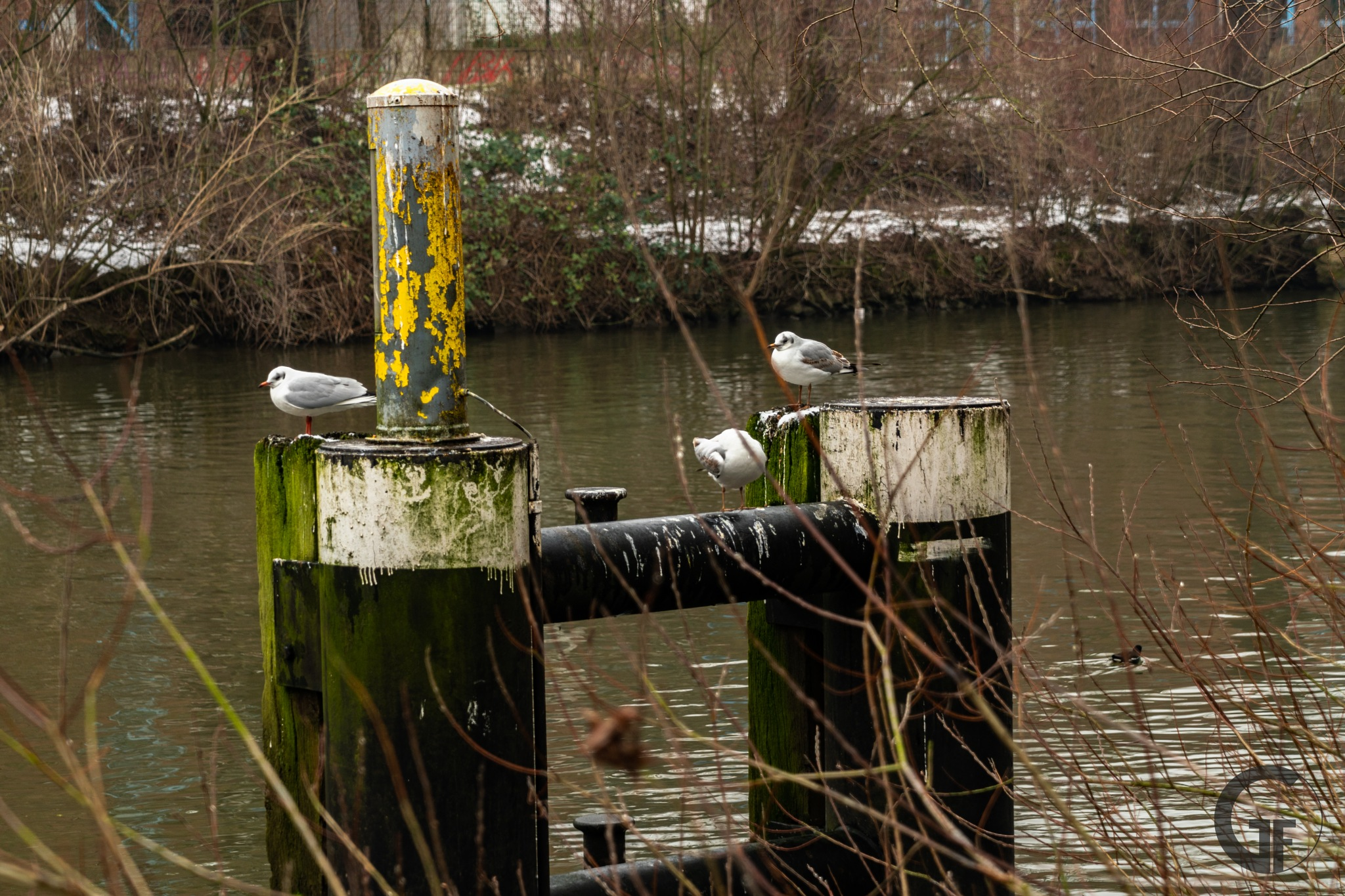 Photo in Urban #birds #bird #lake #river #linden #ihme #ihmezentrum #ihmezentrumhannover #hannover #urban #town #cold #snow #photography #sony #sonyalpha #sonya6300