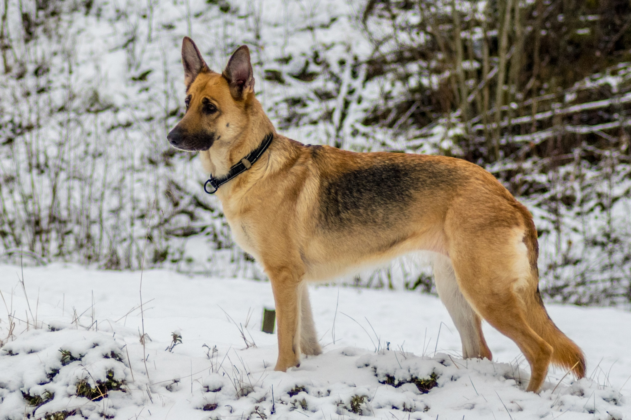 German shepherd by Pierre_von_Panajott