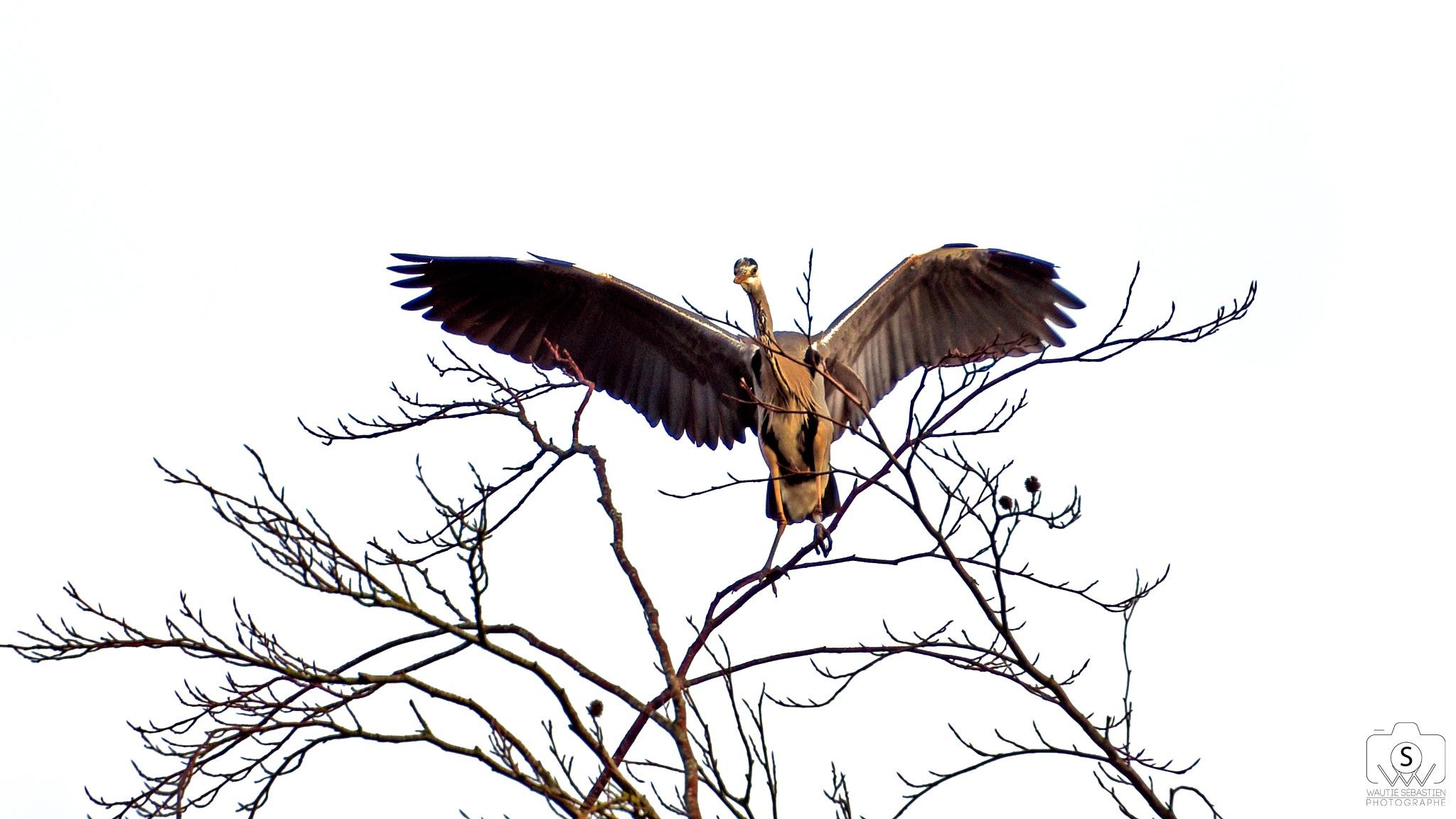 Photo in Animal #gray heron #bird