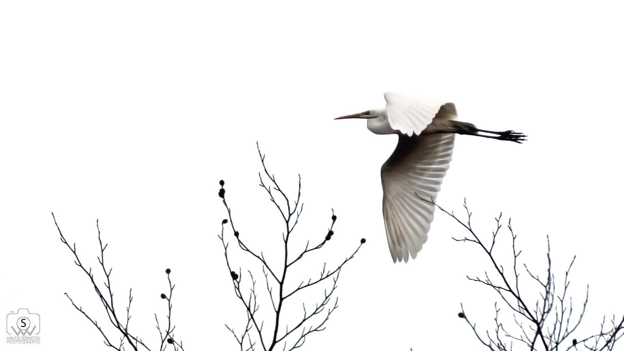 Photo in Animal #great egret #bird #white