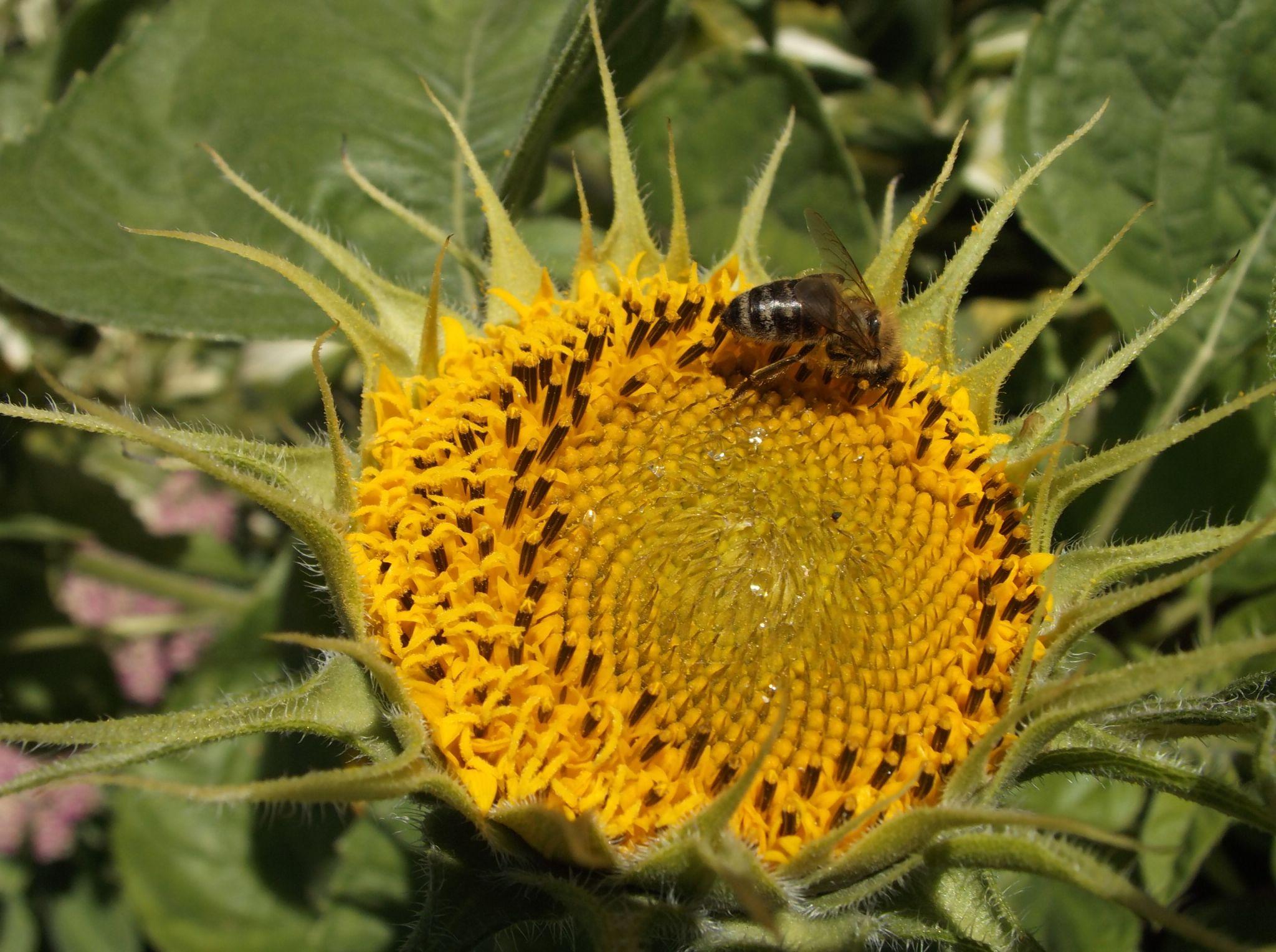 Bee and sunflover by Zita Užkuraitienė