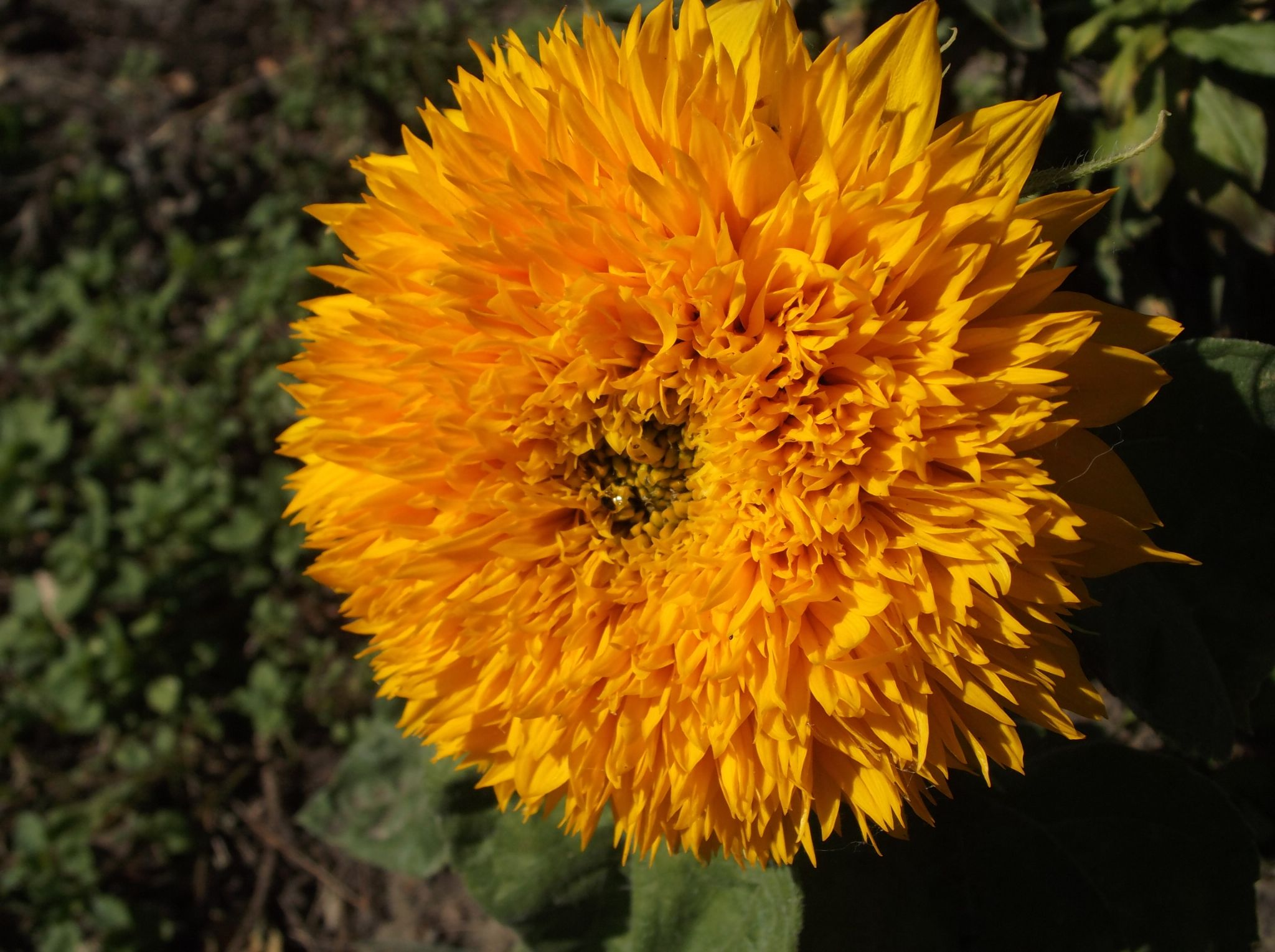 Sunflower by Zita Užkuraitienė