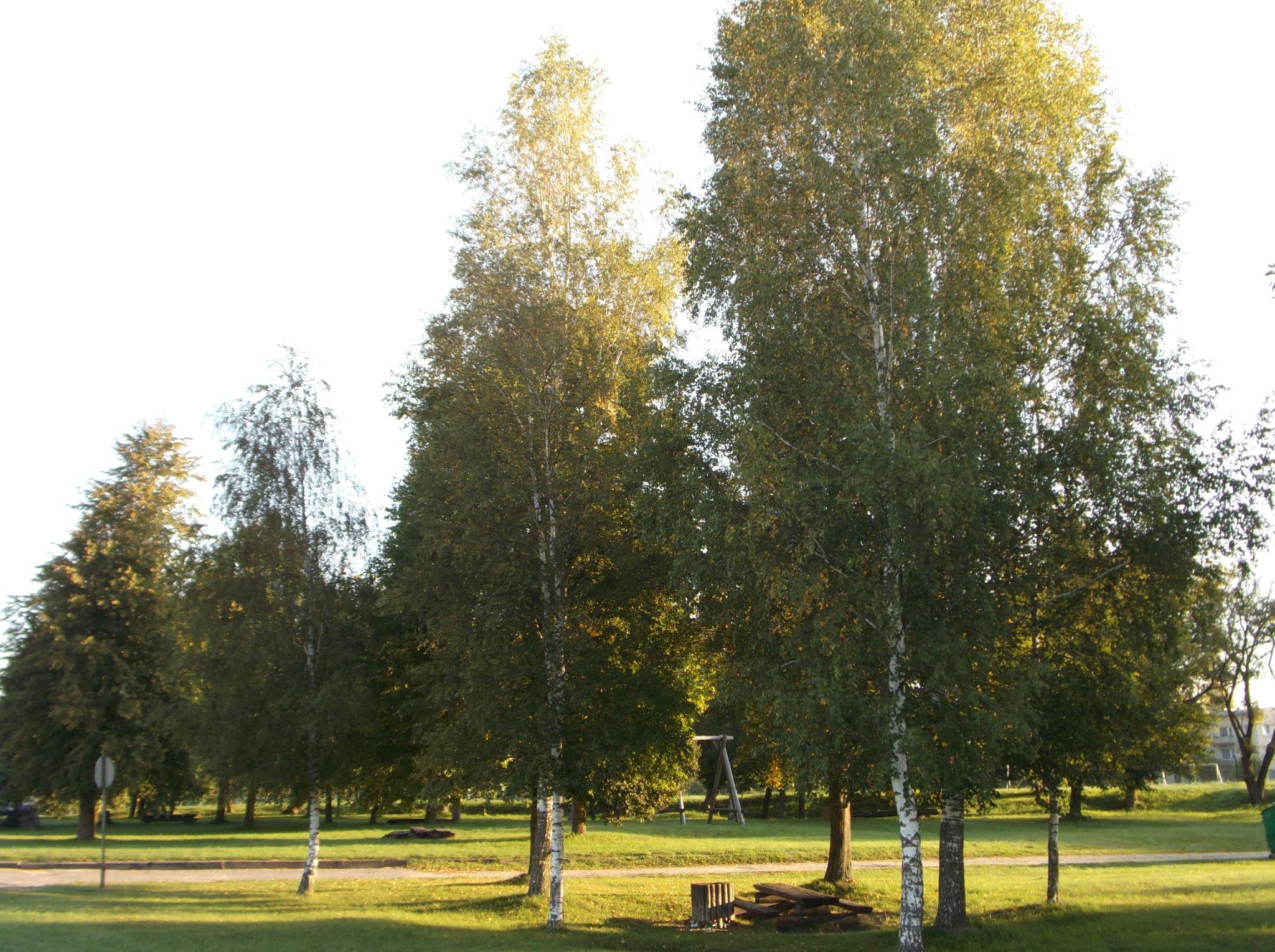 Birch trees in autumn. by Zita Užkuraitienė