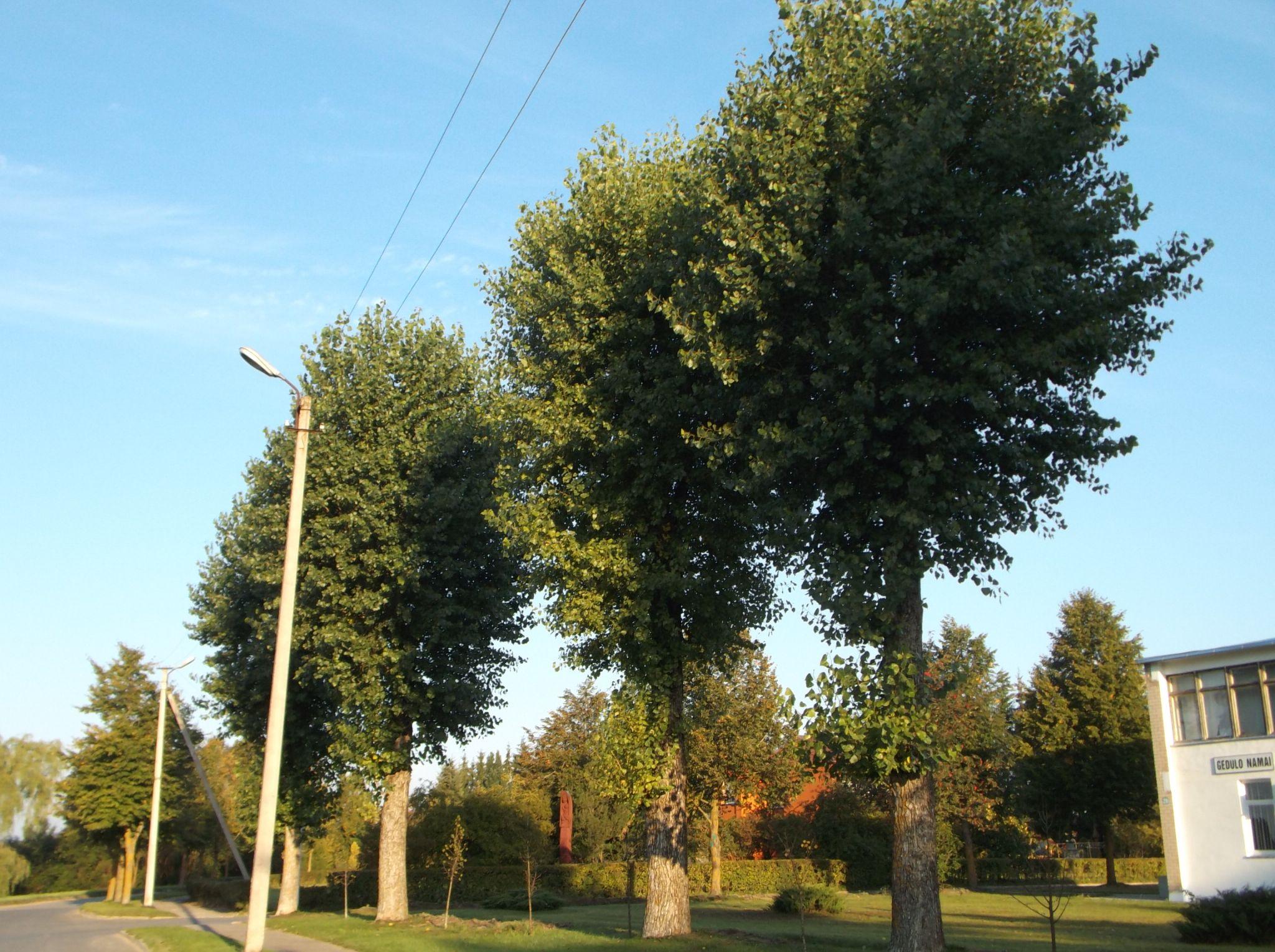 Trees to the street. by Zita Užkuraitienė