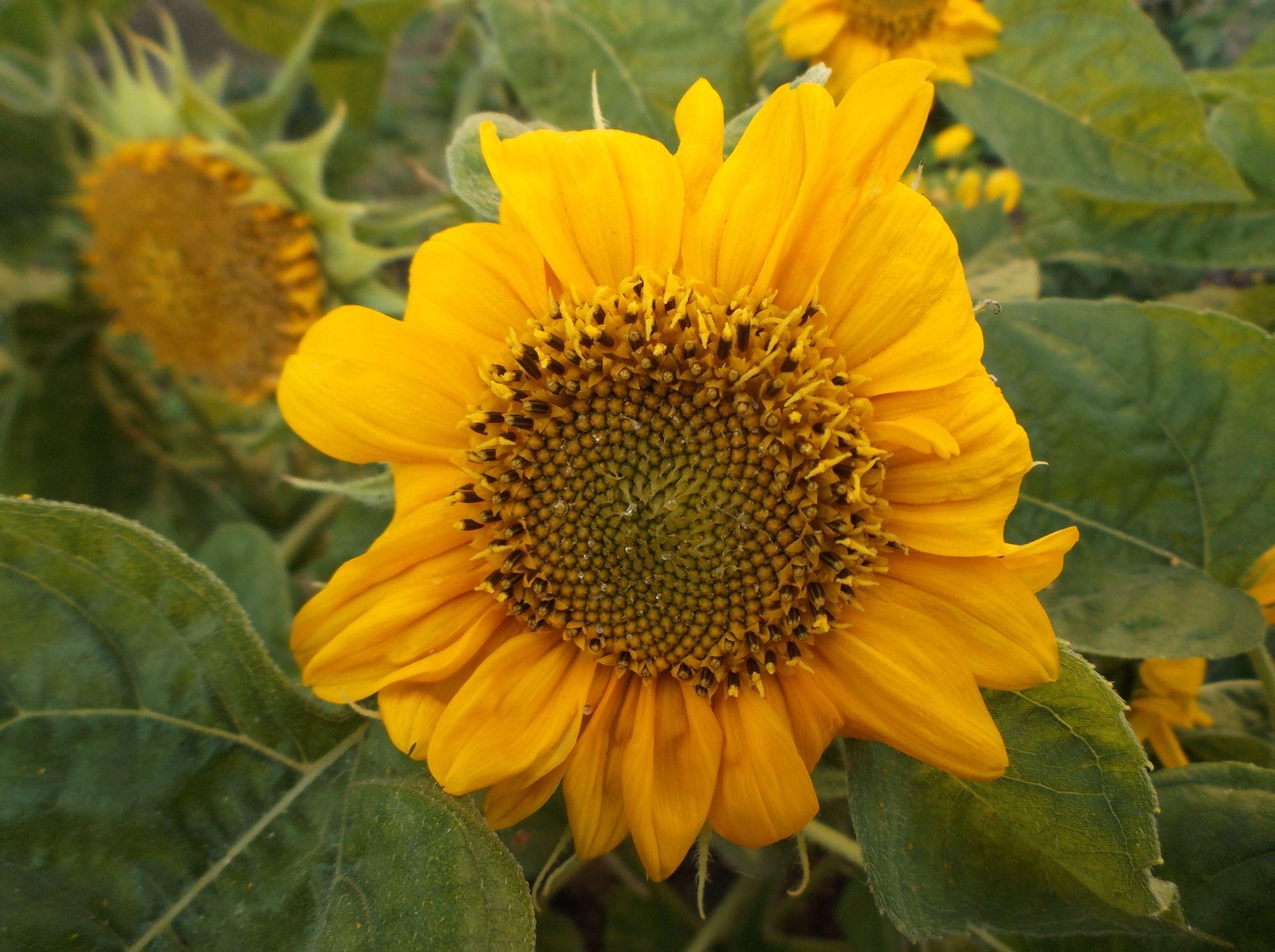 Sunflower. by Zita Užkuraitienė