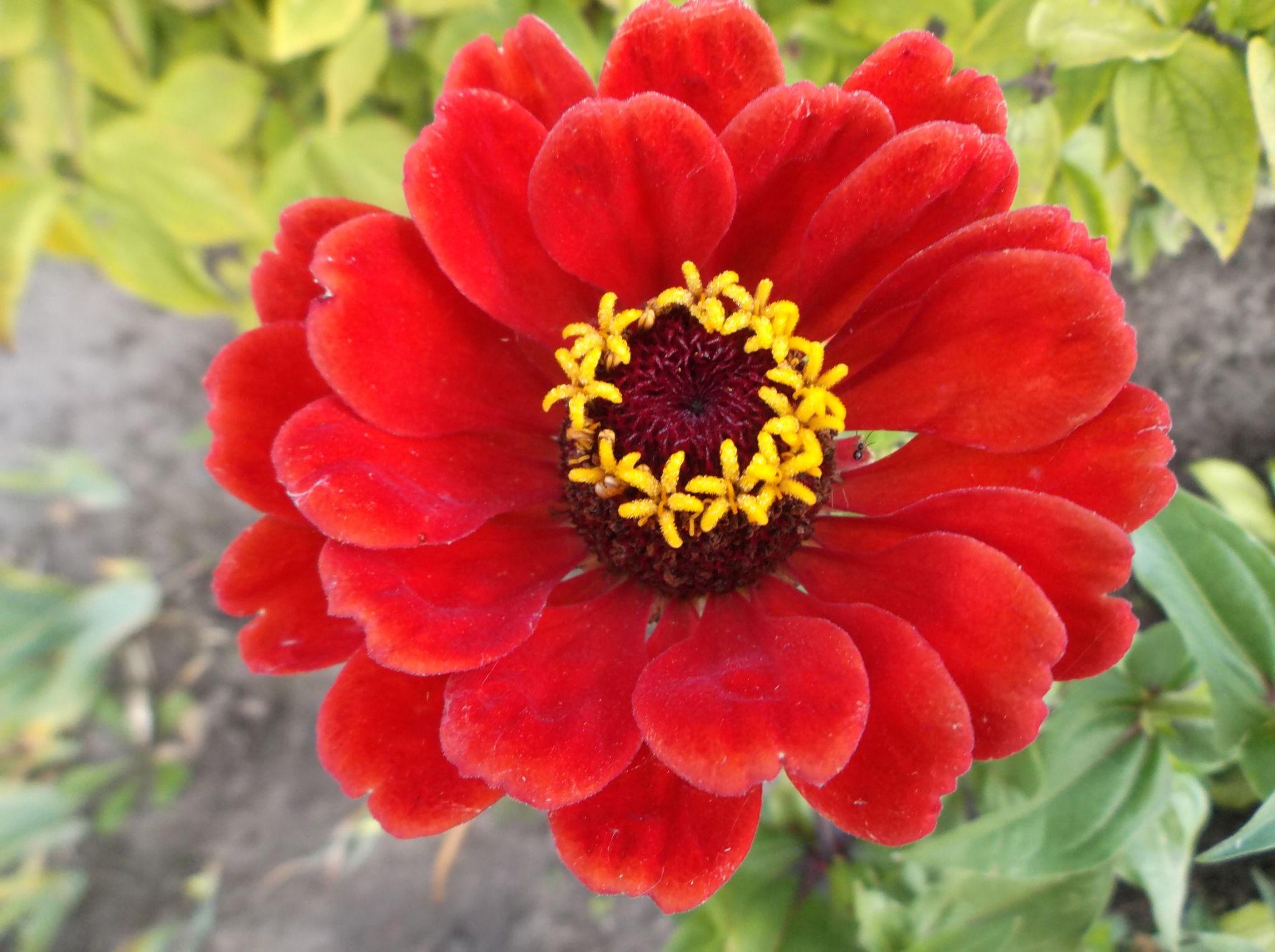 Zinias flower. by Zita Užkuraitienė