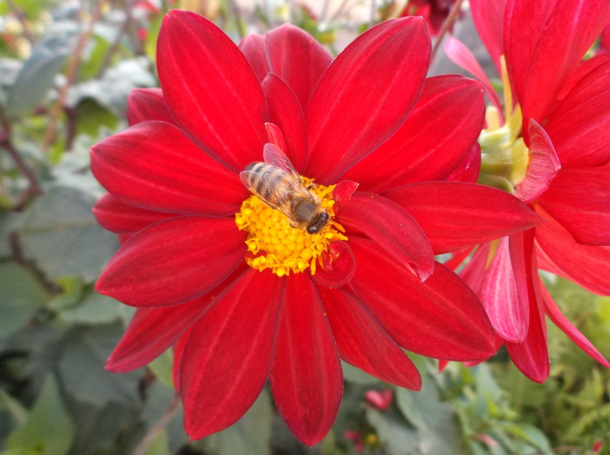 Bee and a flower. by Zita Užkuraitienė