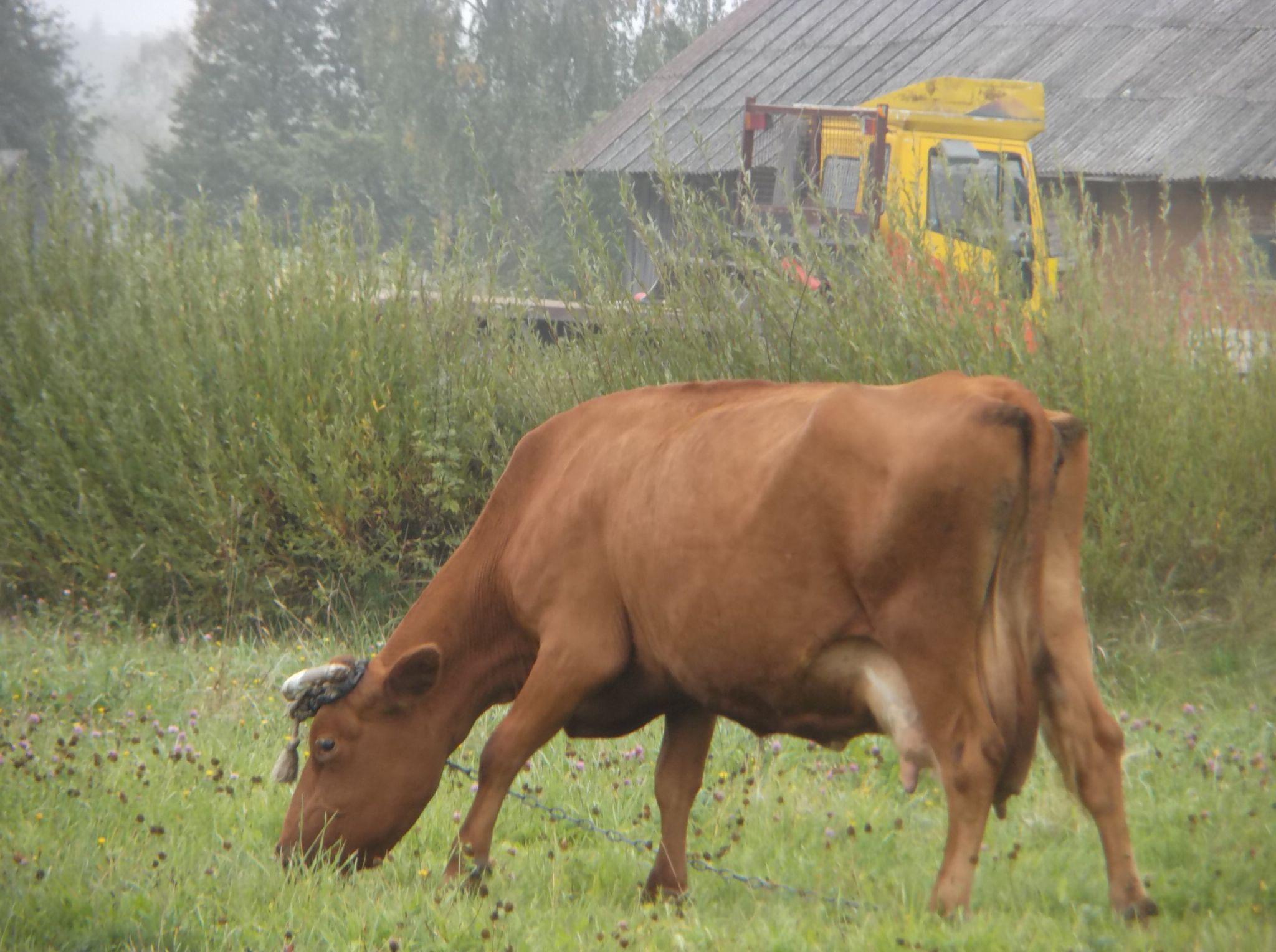 Cow by Zita Užkuraitienė