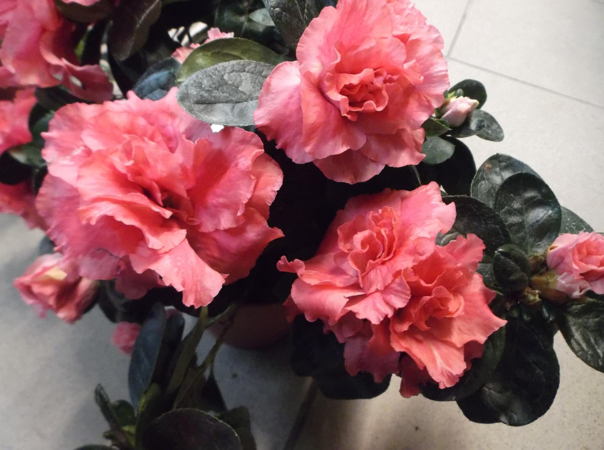 Pink flowers. by Zita Užkuraitienė