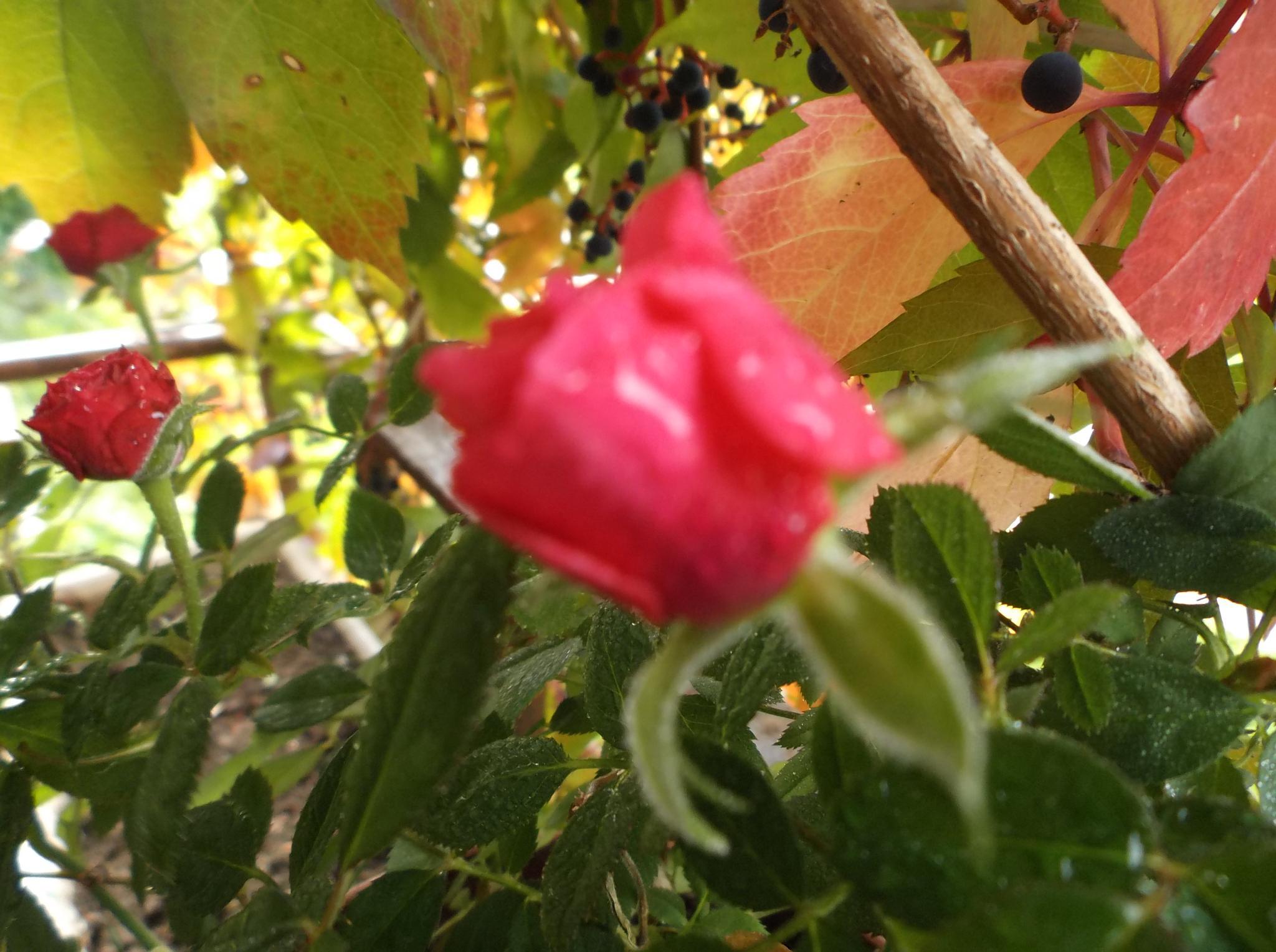 Roses in the rain. by Zita Užkuraitienė