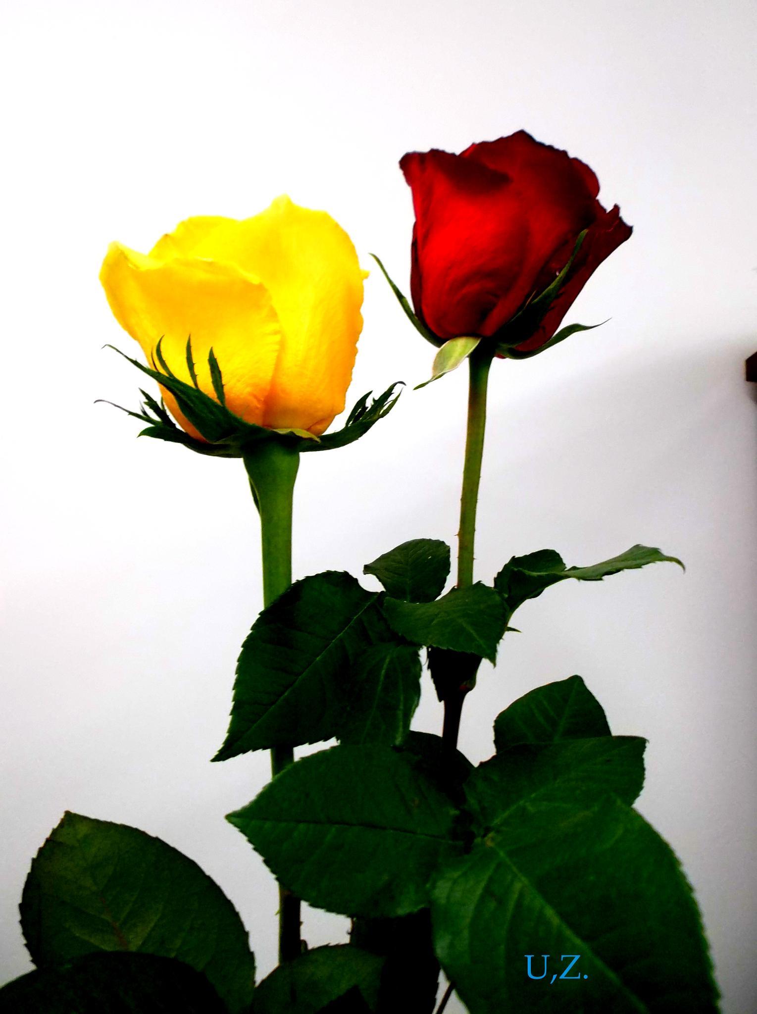 Two roses by Zita Užkuraitienė
