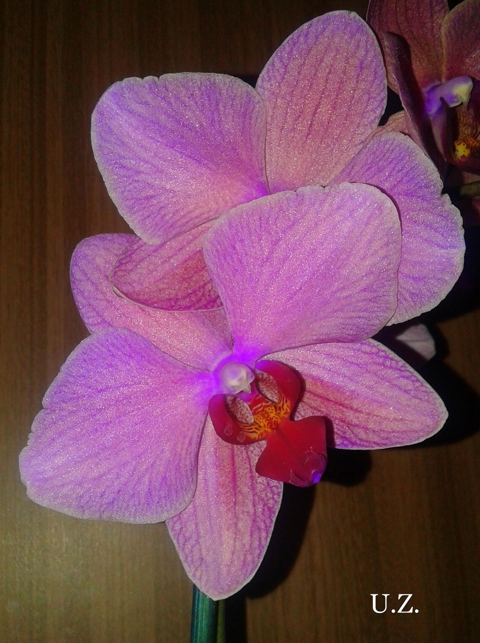 My orchid by Zita Užkuraitienė
